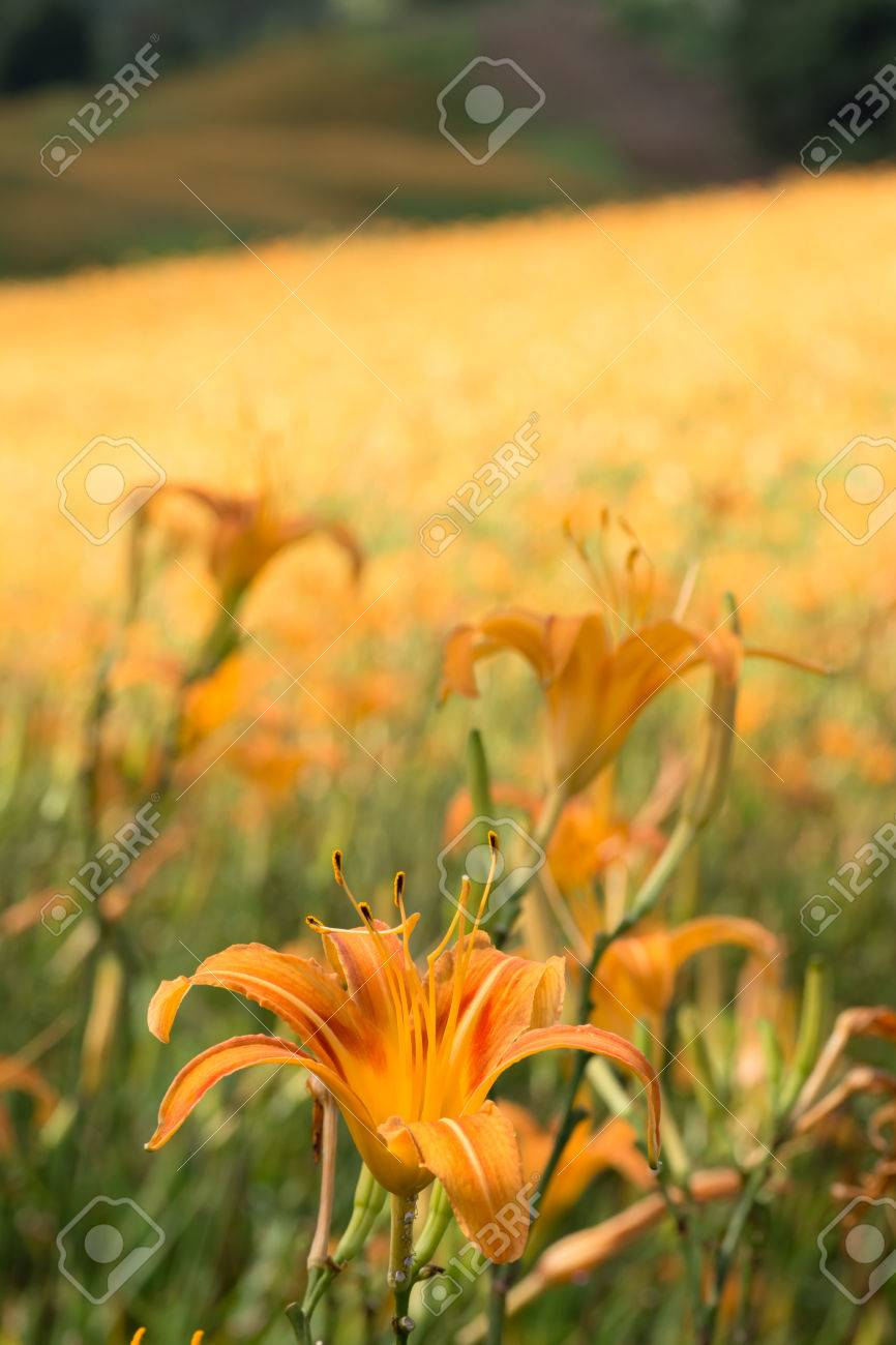 Field of tiger lily flowers stock photo picture and royalty free field of tiger lily flowers stock photo 22850112 izmirmasajfo