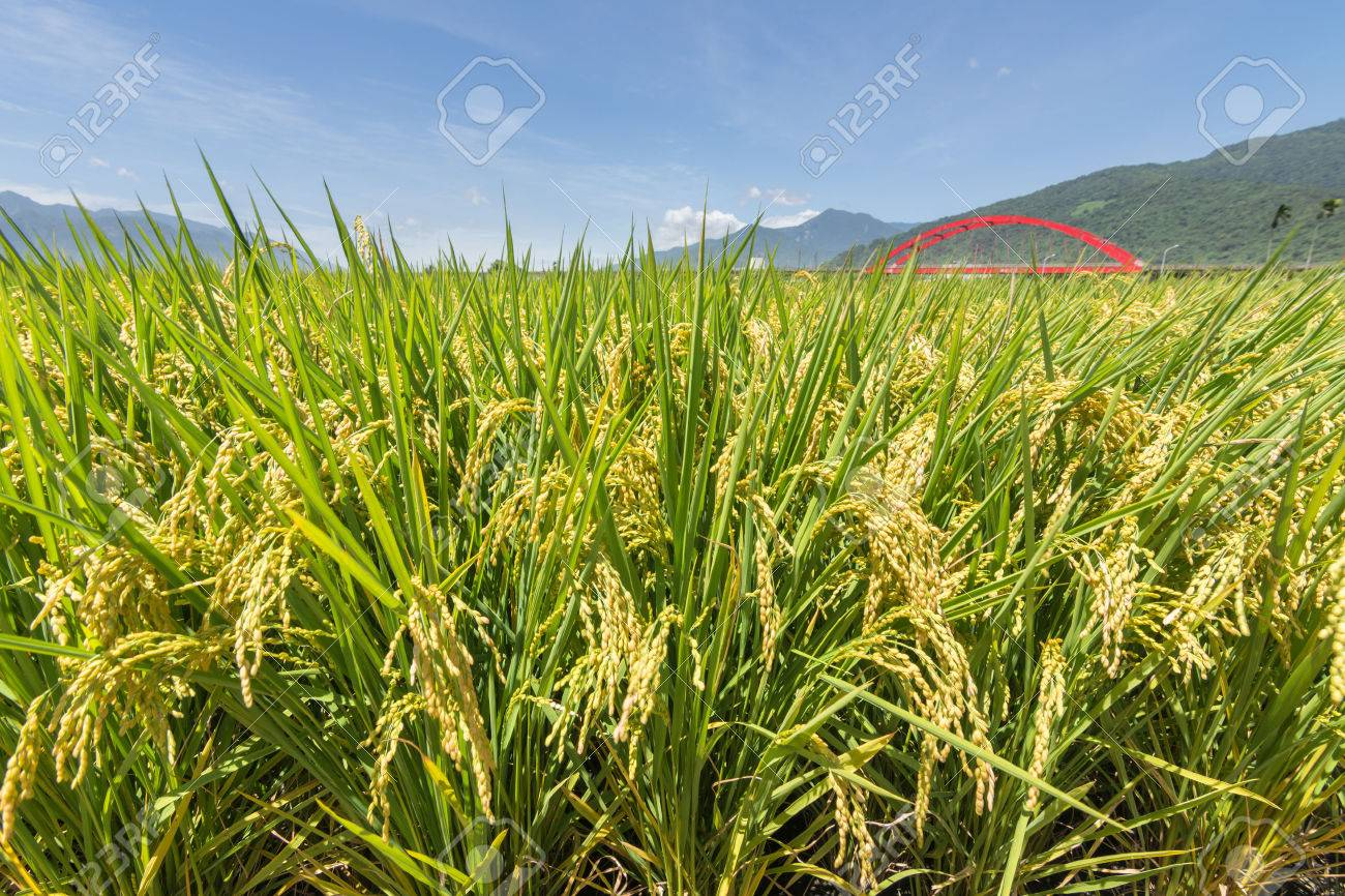 Rural scenery with golden paddy rice farm in Hualien, Taiwan, Asia. - 50680947