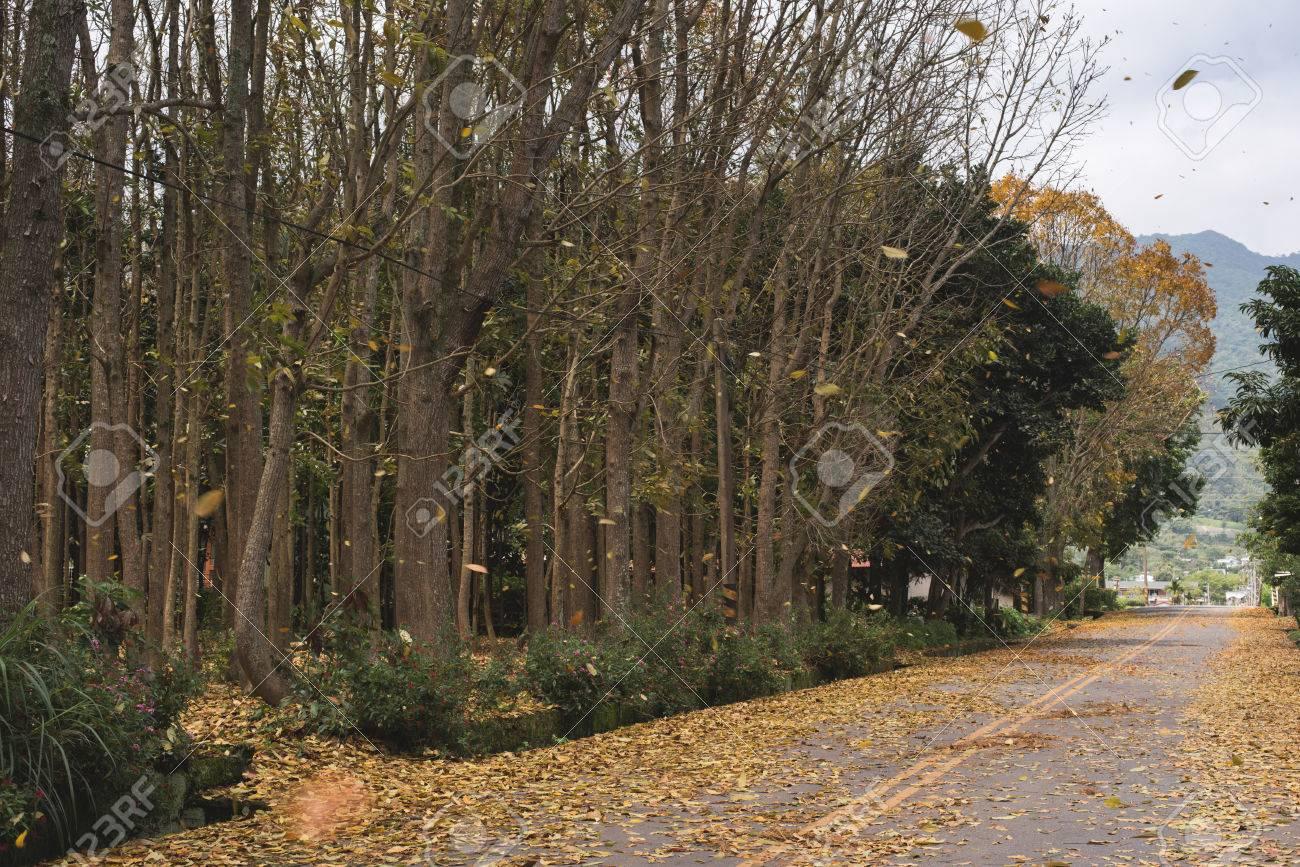Mahagonibaum  Landstraße Mit Blättern Auf Dem Boden Im Frühjahr In Taiwan, Dem ...