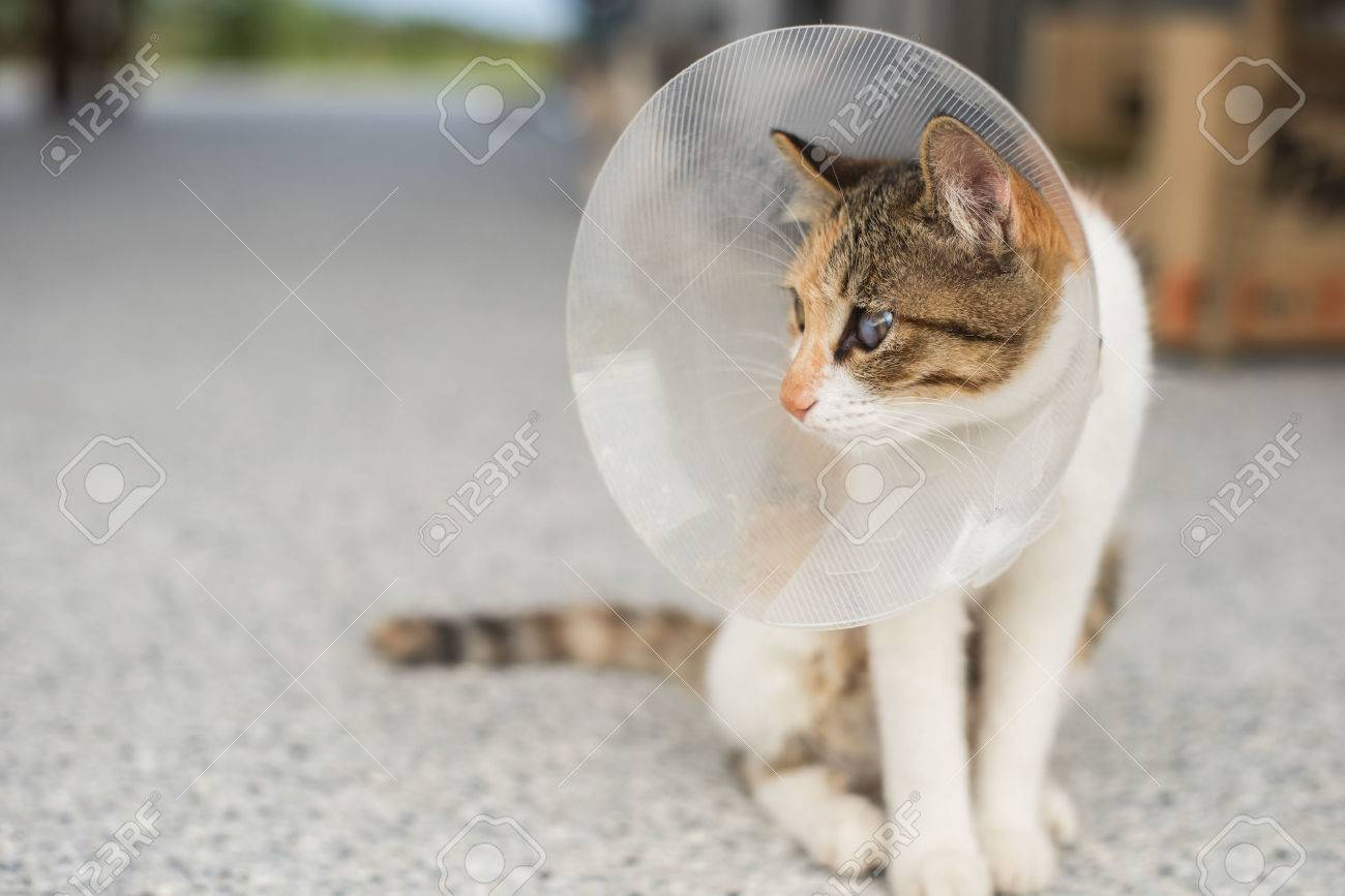 little cat with Elizabethan collar after spay surgery - 68840699