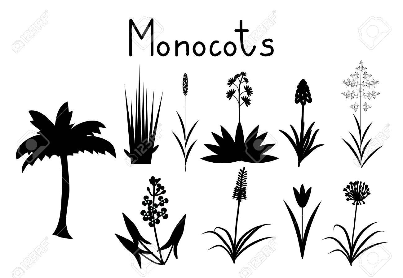 Examples Of Monocots Plants Collection Royalty Free Cliparts