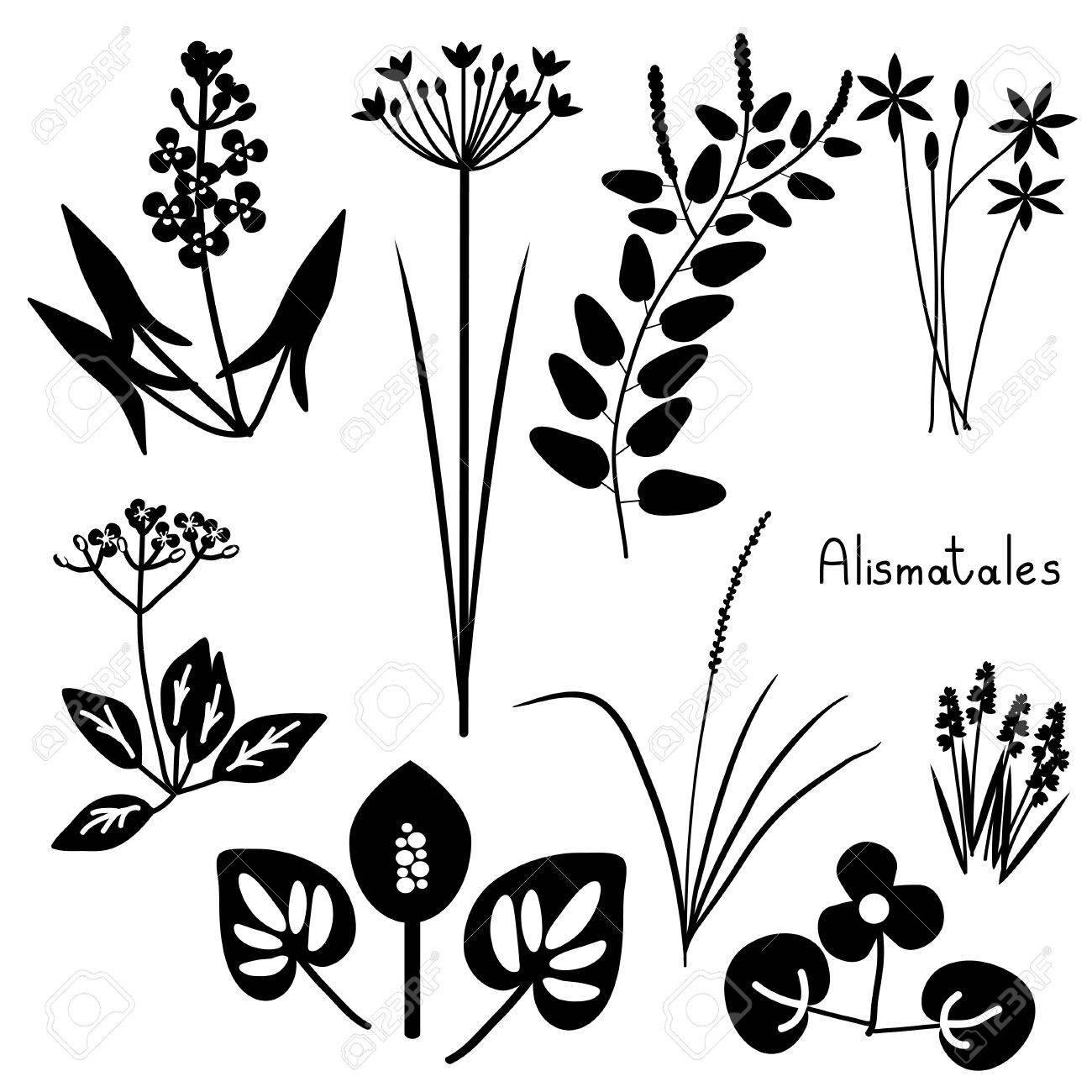 Alismatales Pflanzen Bestellen Schwarz Und Weiß Lizenzfrei