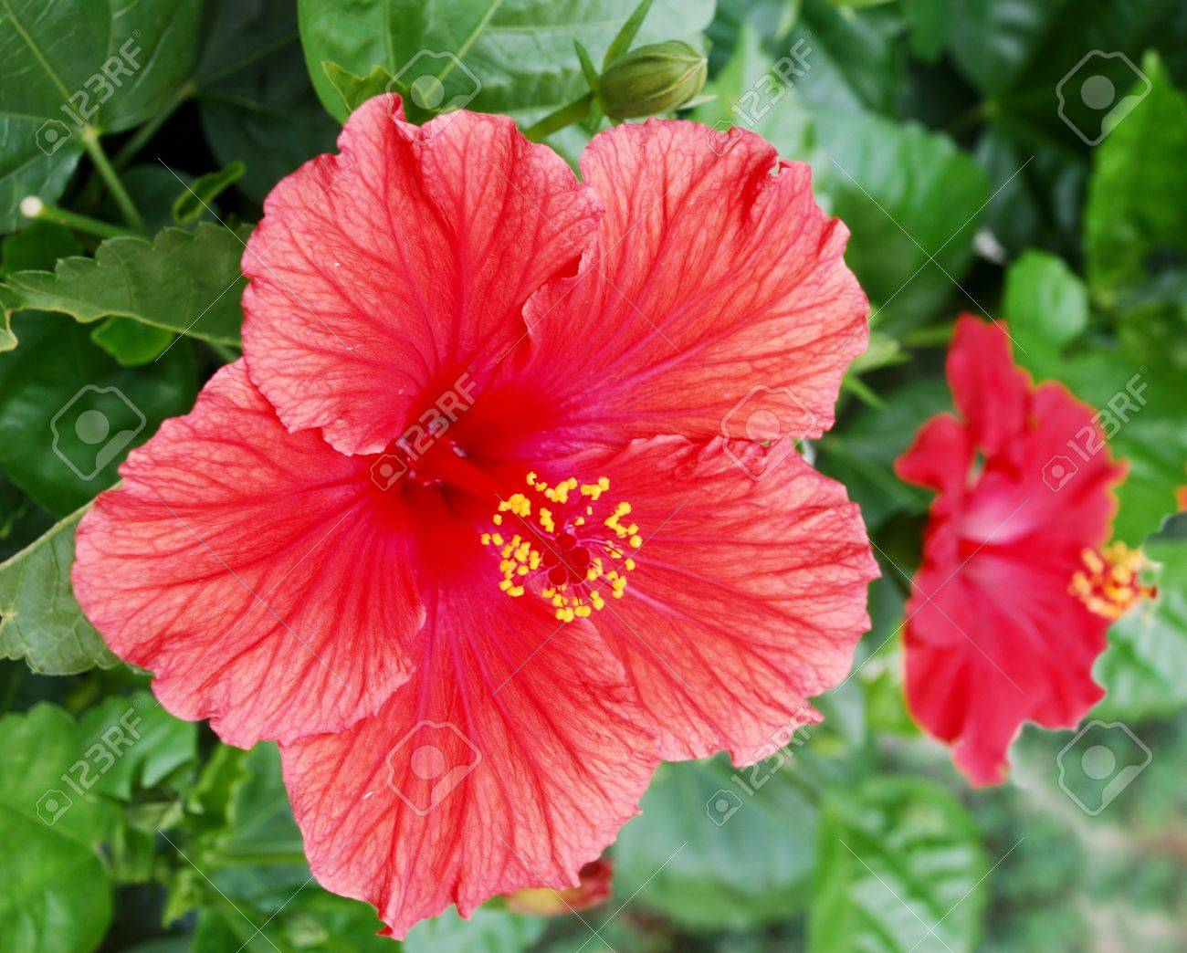 Tropical red hibiscus flower with green leaves background stock stock photo tropical red hibiscus flower with green leaves background izmirmasajfo