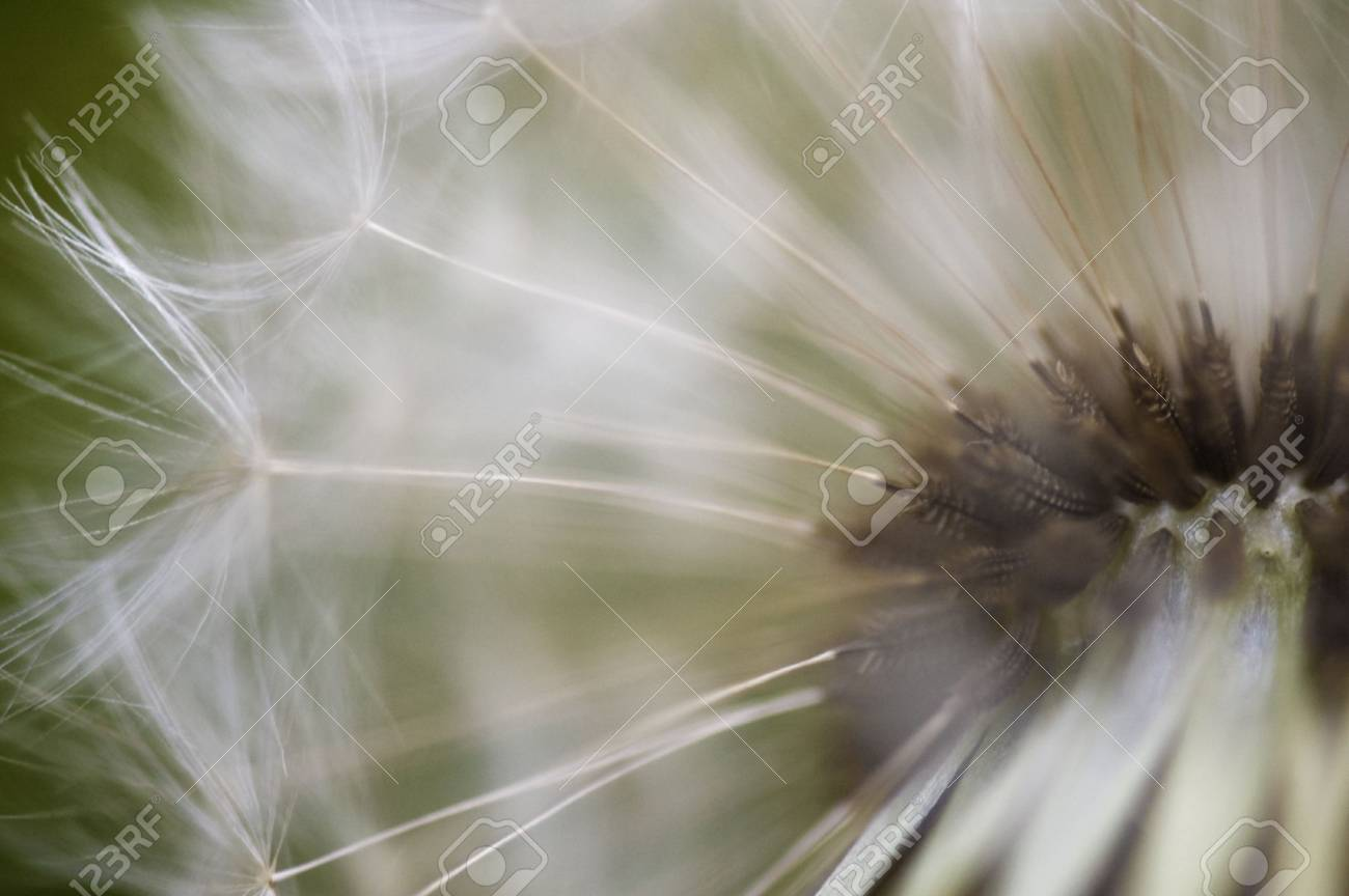 Close up of Dandelion seeds Stock Photo - 5846515