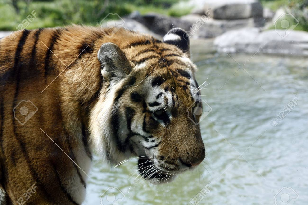 Close up of a Siberian Tiger. Stock Photo - 3611189