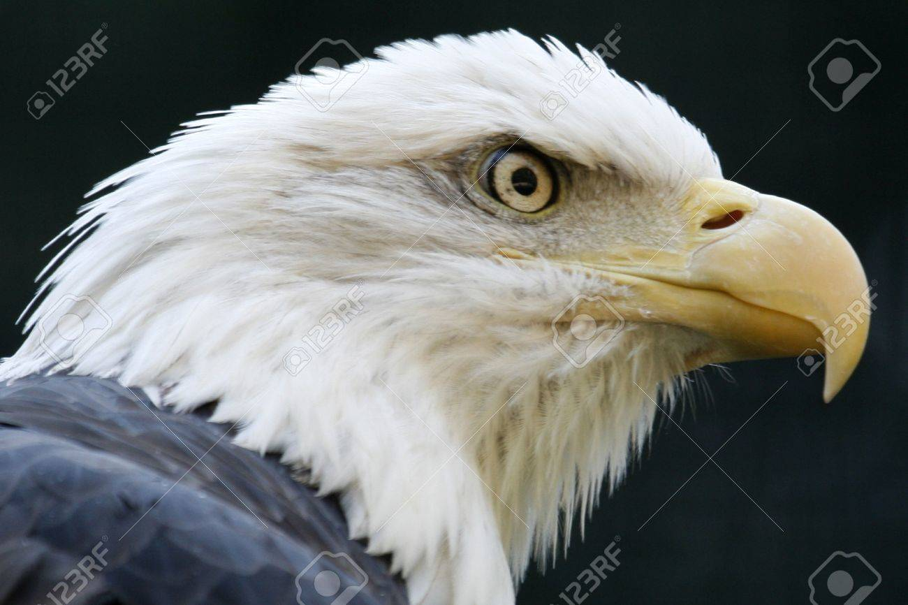A fierce looking bald eagle ready to attack. Stock Photo - 3700274