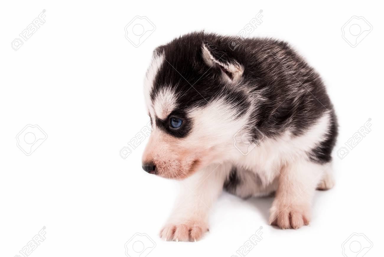 Beauty Little Baby Puppy Siberian Husky Posing On A White Background