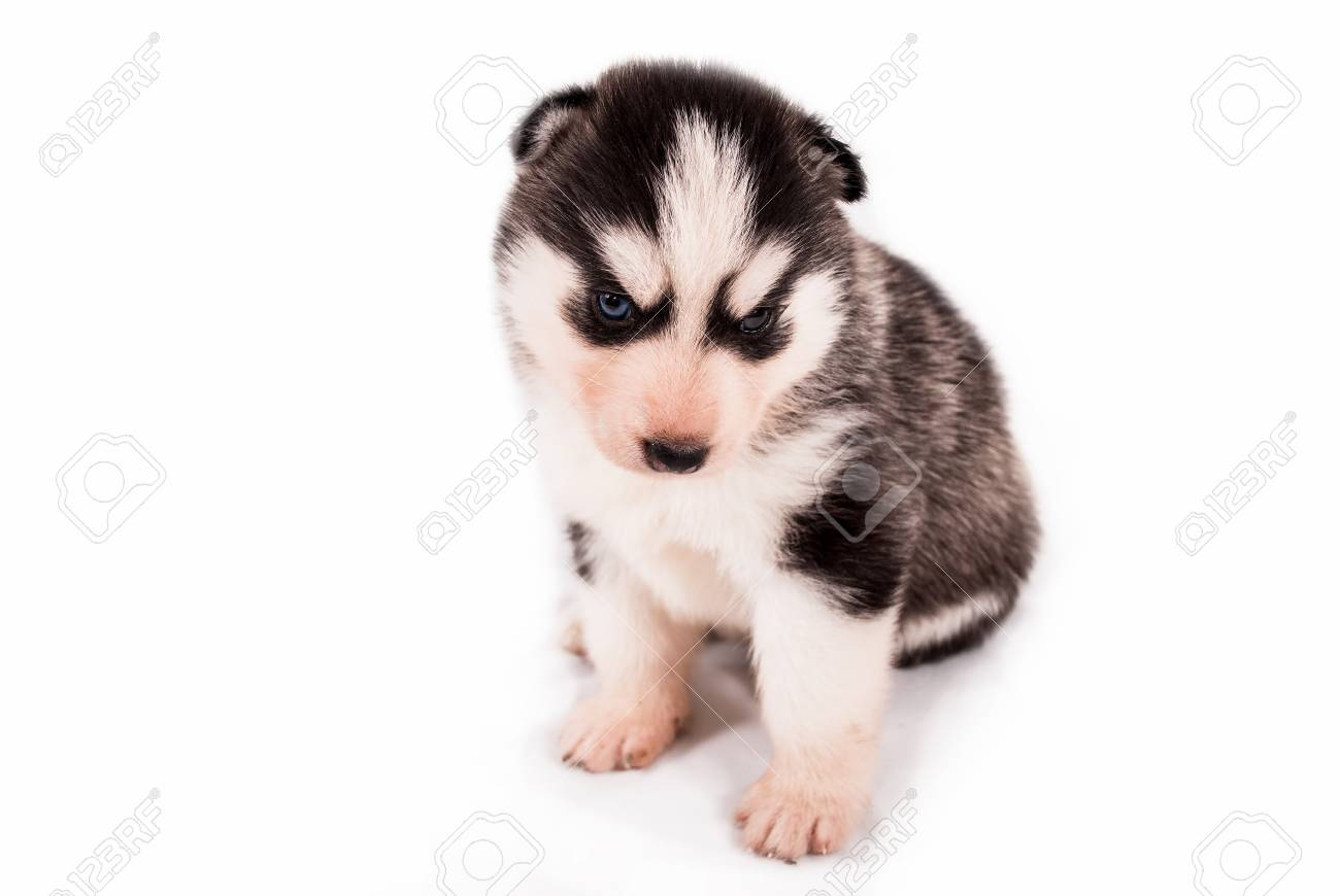 Cute Baby Puppy Siberian Husky Posing On A White Background Stock Photo Picture And Royalty Free Image Image 92140785