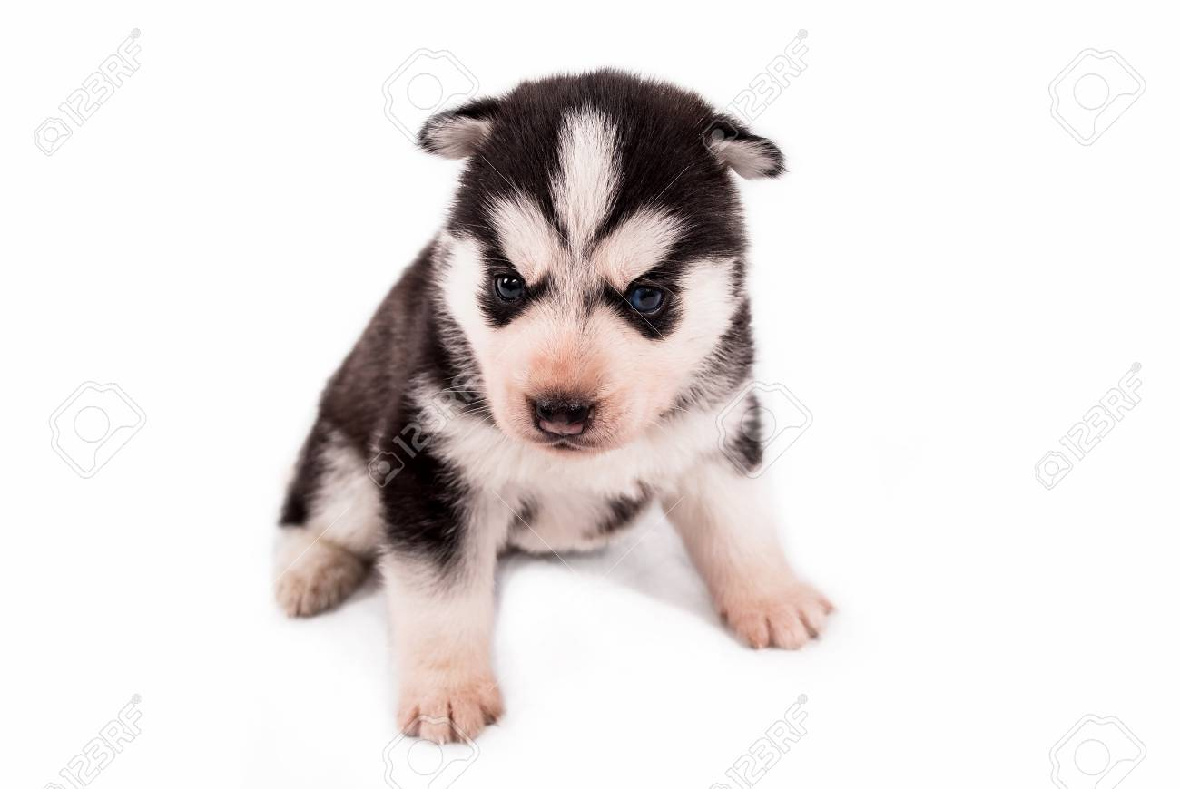 Very Little Baby Puppy Siberian Husky Posing On A White Background
