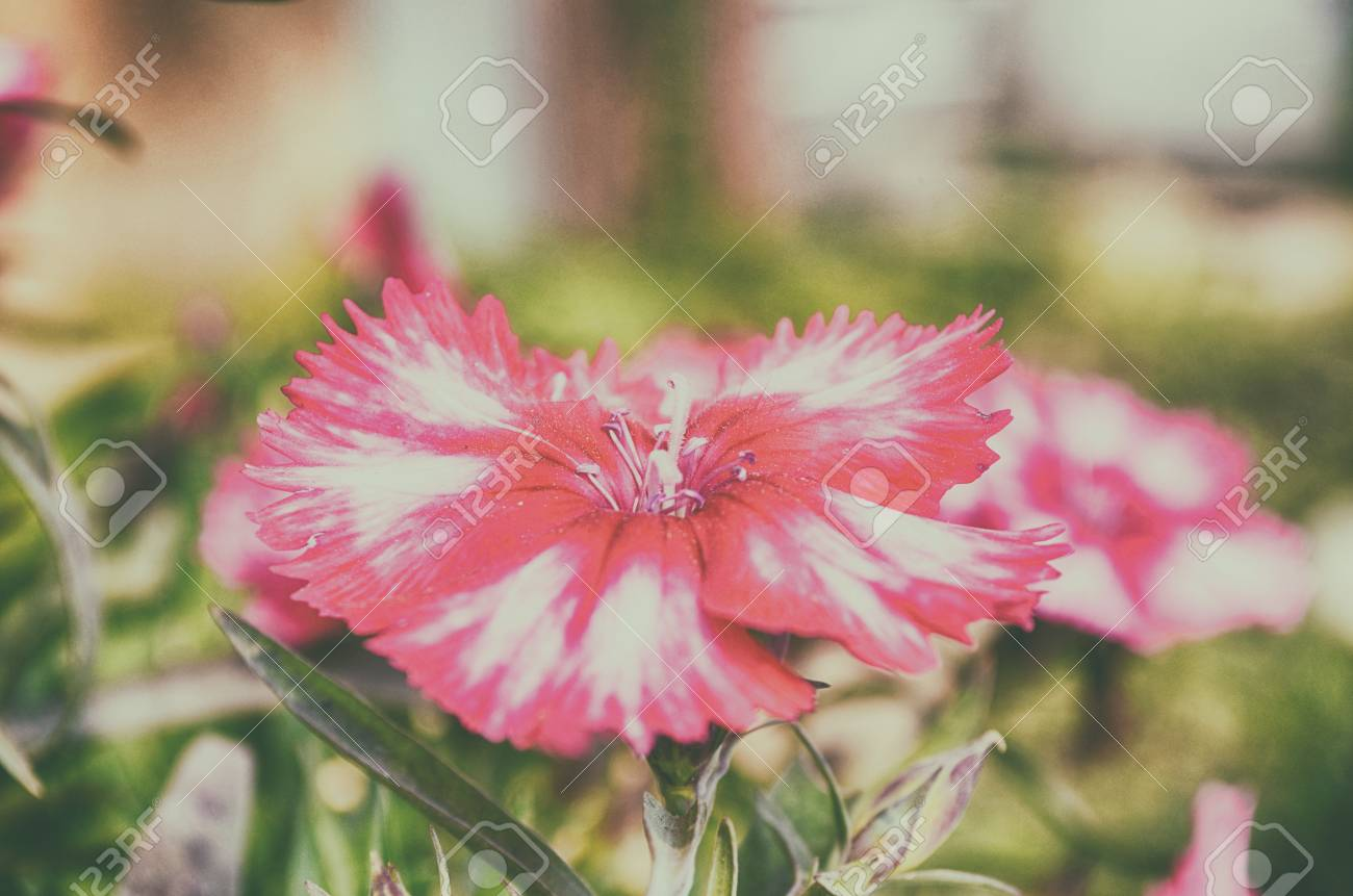 Close Up Of Beautiful Pink Color Flower On Garden Stock Photo