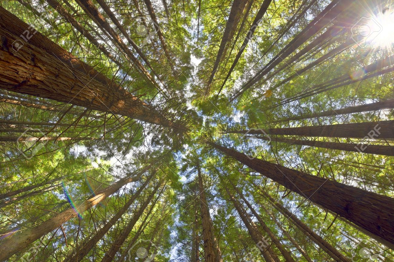 View on the canopy of the Redwoods in Whakarewarewa Forest New Zealand. Stock Photo & View On The Canopy Of The Redwoods In Whakarewarewa Forest New ...