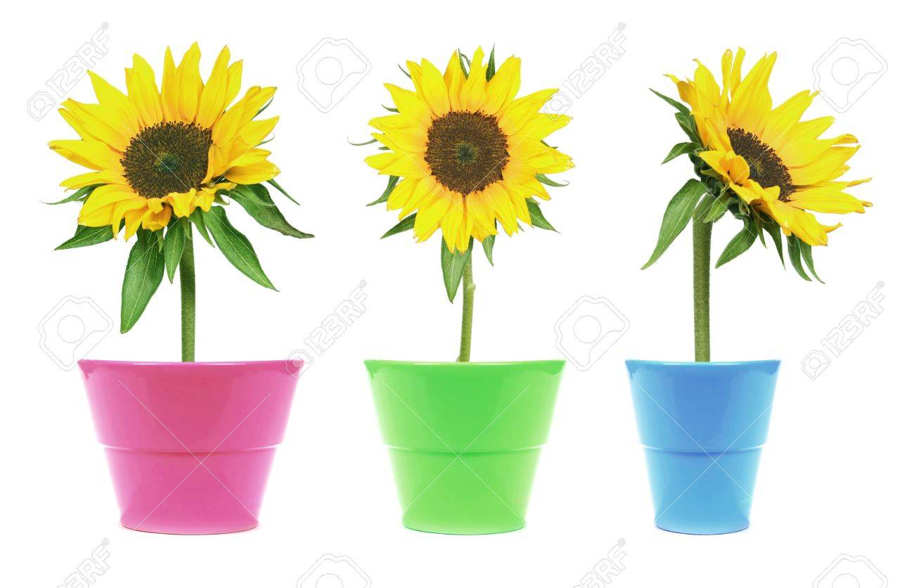 set of 3 sunflowers in flower pot - isolated on clear white background Stock Photo -  sc 1 st  123RF.com : clear flower pot - startupinsights.org
