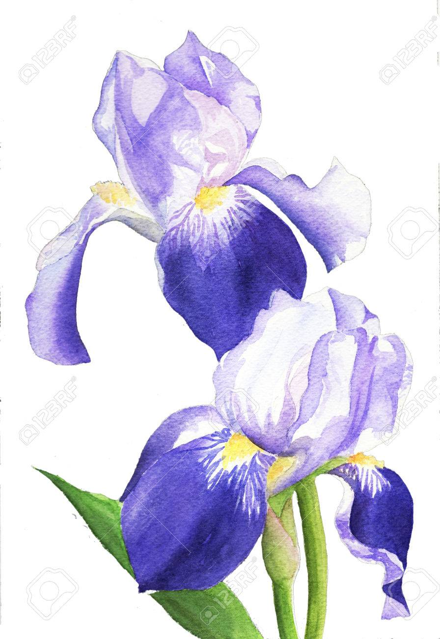 Watercolor painting illustration purple iris flower plant stock illustration watercolor painting illustration purple iris flower plant izmirmasajfo