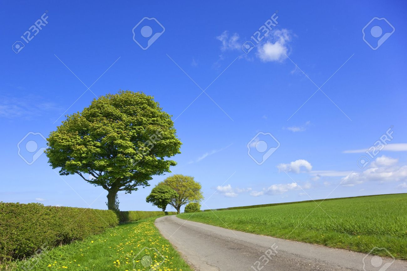 an english country landscape with wheatfields trees dandelions flowering in the grass verge and hawthorn hedges under a blue sky in springtime Stock Photo - 6969804
