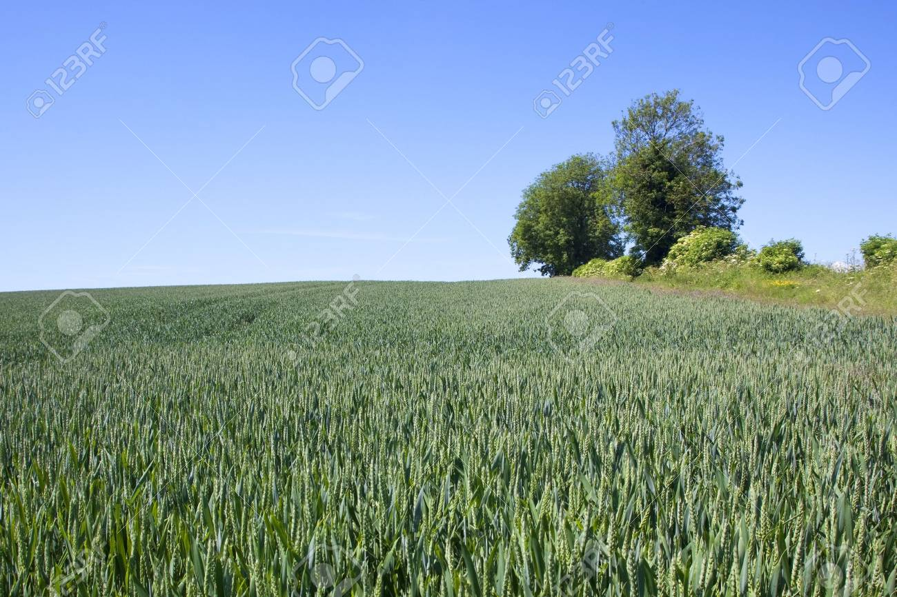 a field of wheat on a hillside with trees and hedgerow under a blue sky in summer Stock Photo - 7187374