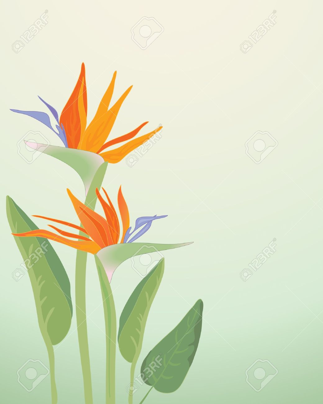 an illustration of strelitzia regina bird of paradise flowers with foliage on a pale green background Stock Vector - 11104887