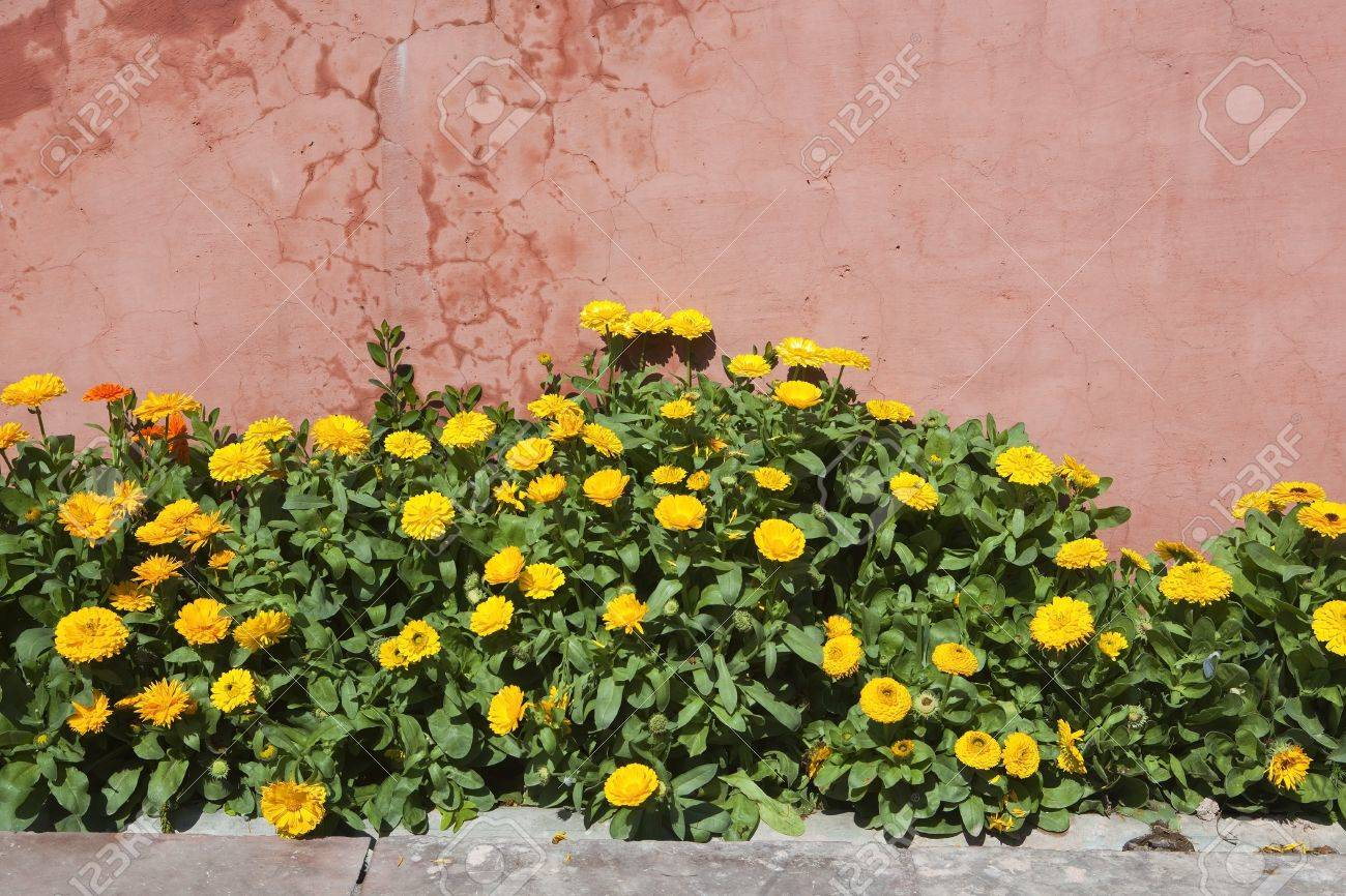 Bright Yellow And Orange Flowers And Green Leaves Of Calendula