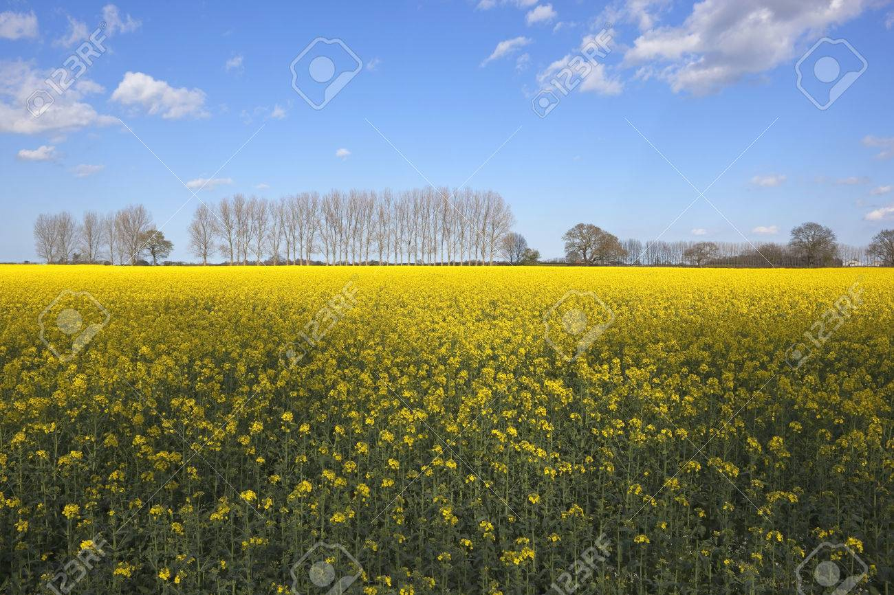 A Rape Seed Crop With Bright Yellow Flowers In Early Summer With