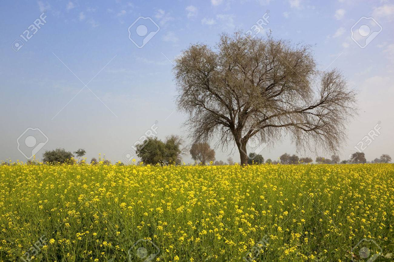 A mustard crop in the springtime in punjab india with bright stock a mustard crop in the springtime in punjab india with bright yellow flowers and a bre mightylinksfo