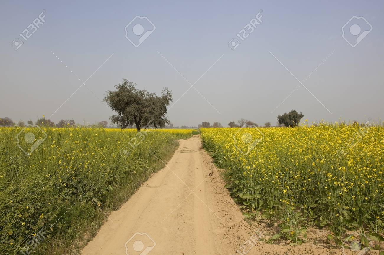 Mustard Fields With Bright Yellow Flowers Along A Sandy Dusty