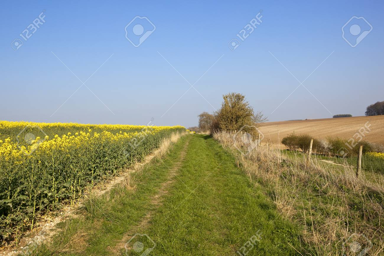 A Scenic Bridleway Beside Bright Yellow Flowers Of An Oilseed