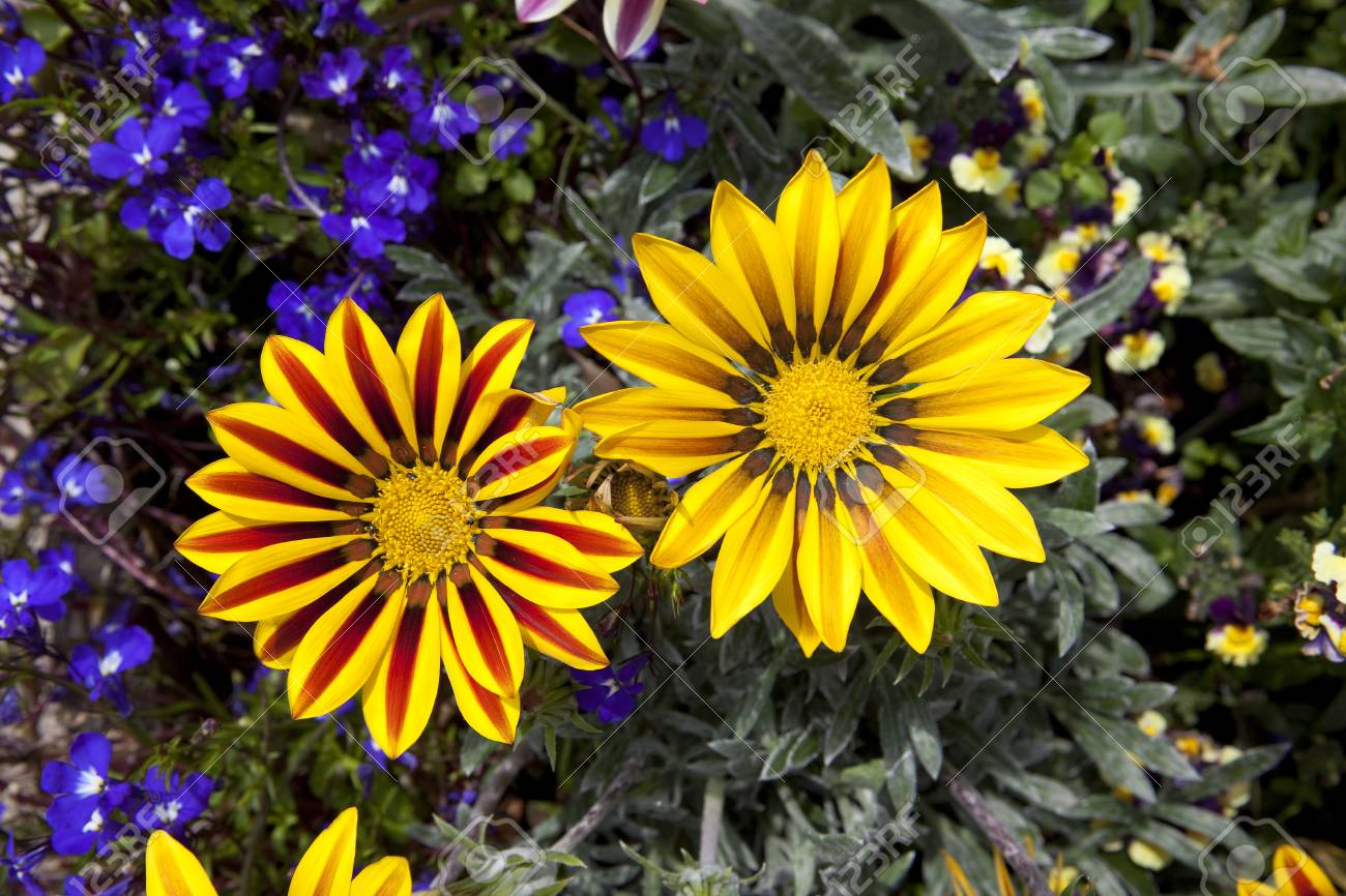 Aerial View Of Bright Yellow And Red Gazania Blooms With Purple
