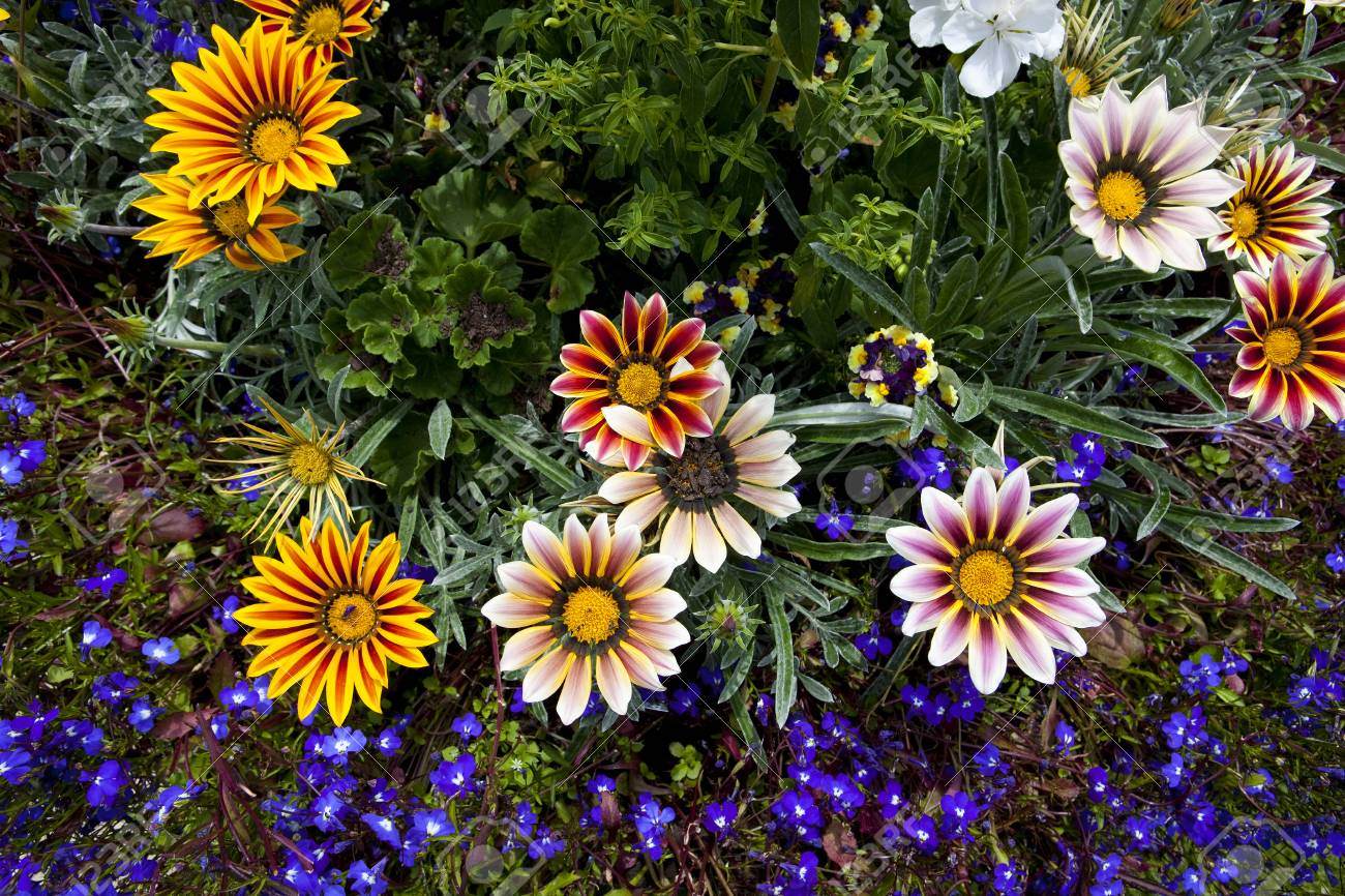 A Selection Of Colorful Gazania Flowers With Blue Lobelia Bedding