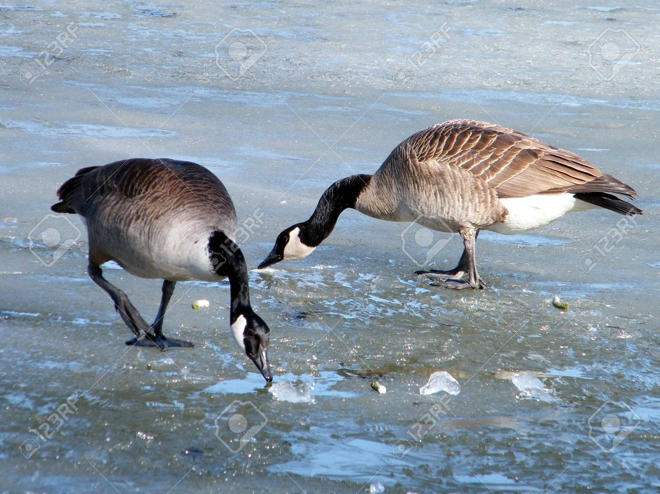 Two Canadian geese on ice of Oakbank Pond in Thornhill, Canada Stock Photo - 7527279