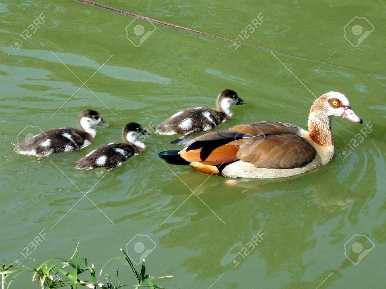 mother long legged duck and three ducklings in a pond of ramat