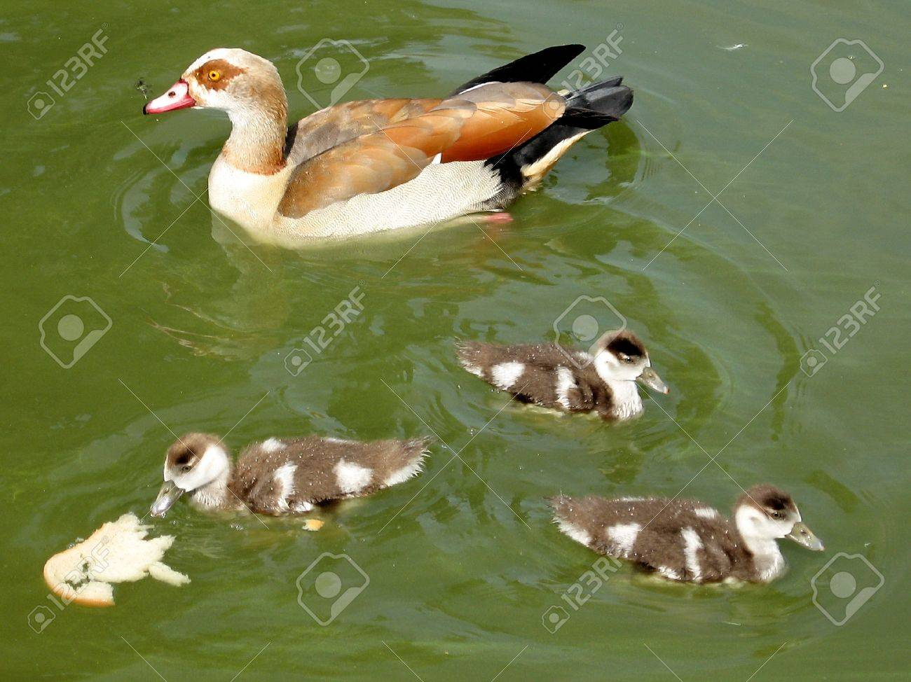 long legged duck and ducklings in a pond of ramat gan park israel
