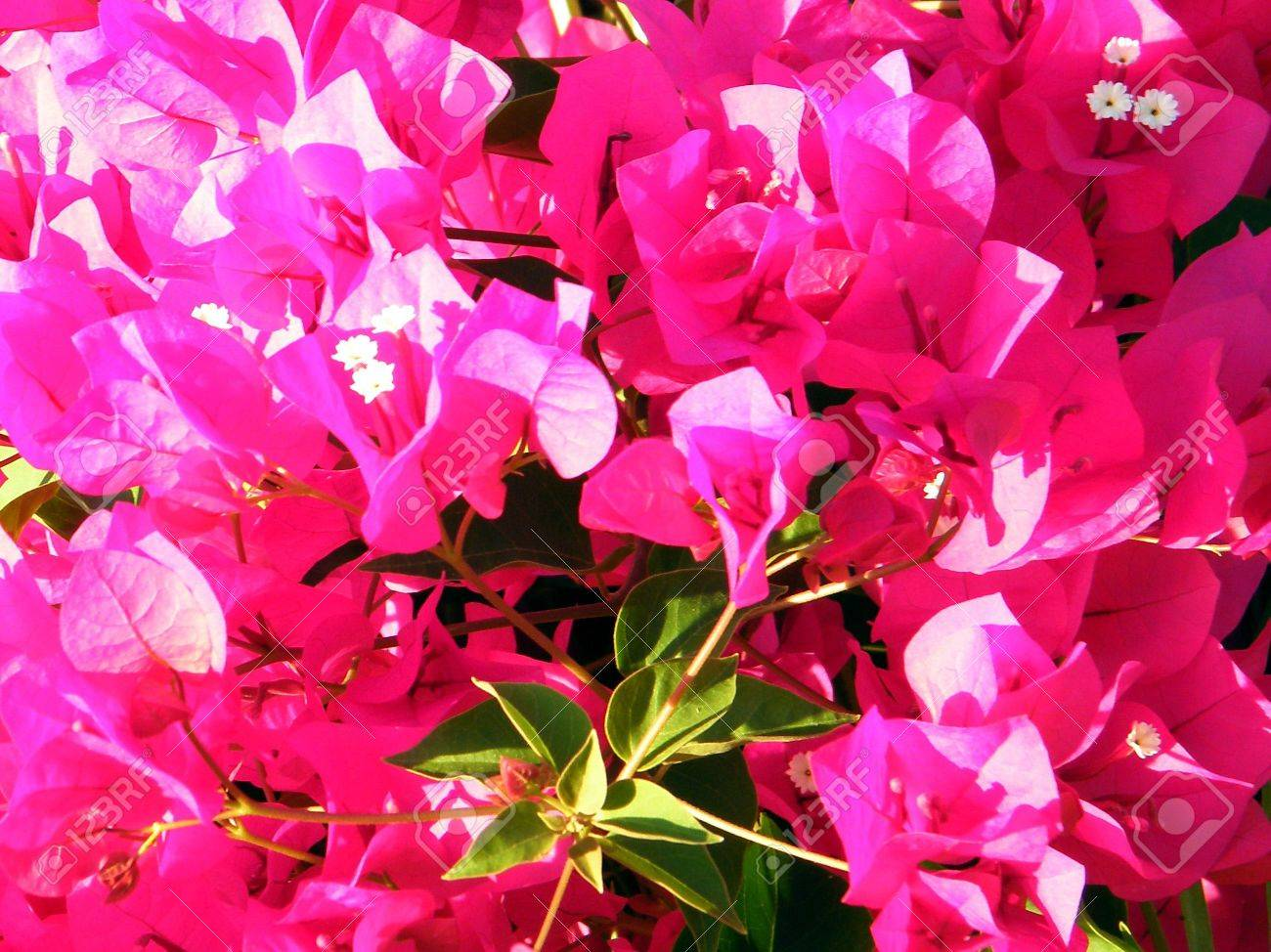 Red Bougainvillia flowers in Or Yehuda, Israel Stock Photo - 7833401