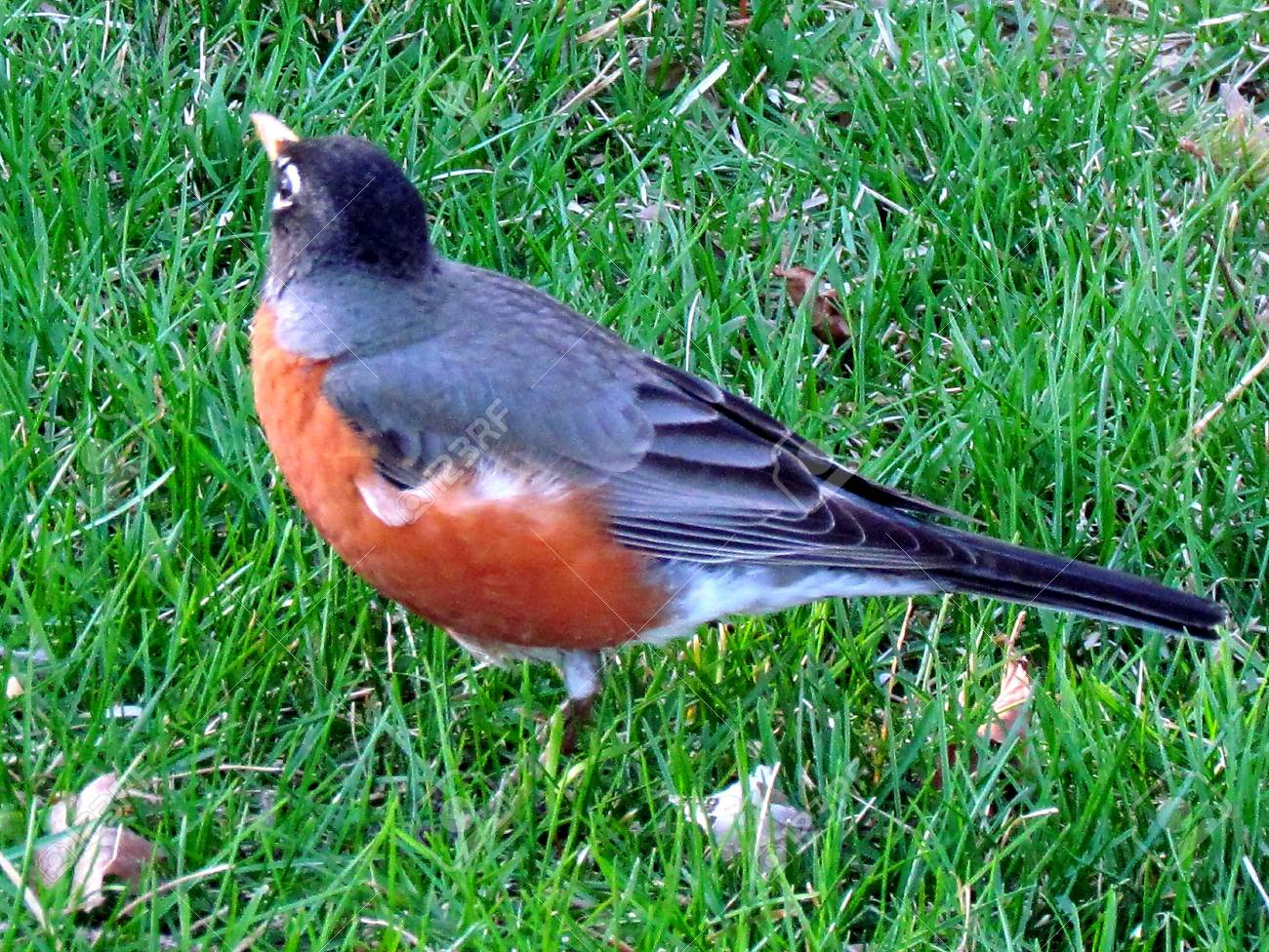American Robin on green grass in Thornhill Ontario, Canada Stock Photo - 13769954