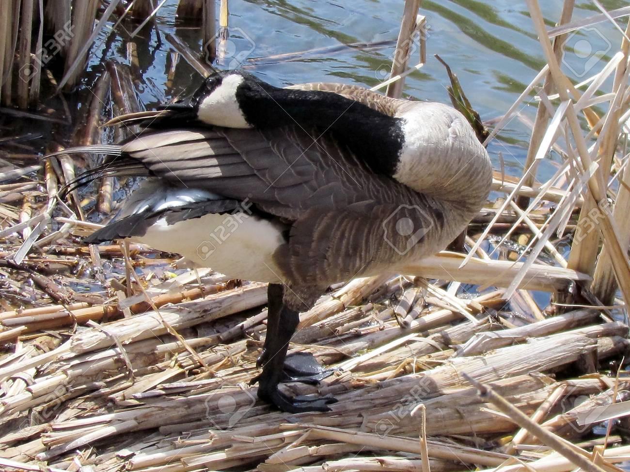 nettoyage canada goose