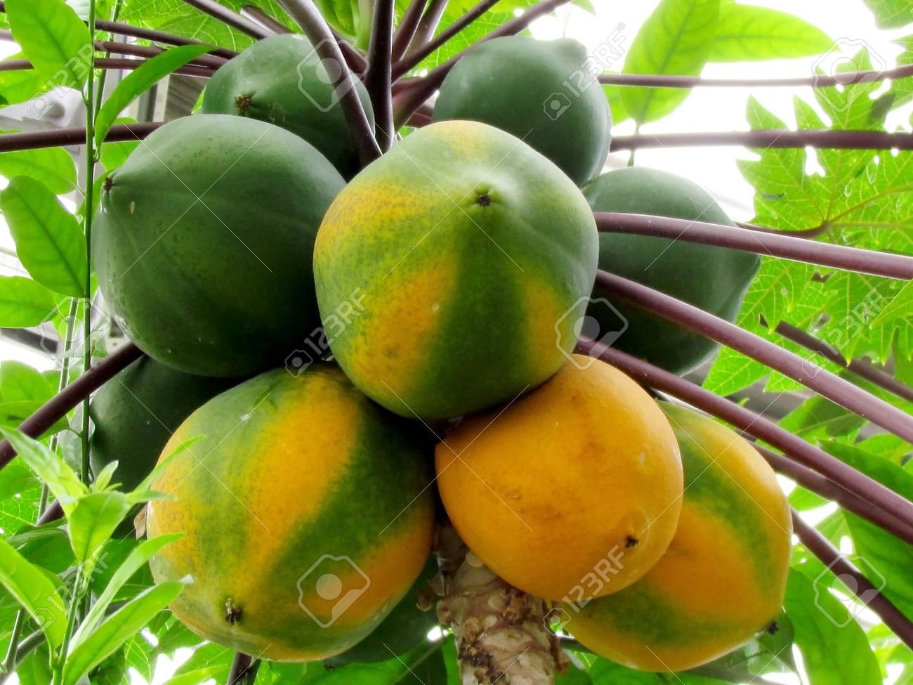 papaya tree images u0026 stock pictures royalty free papaya tree