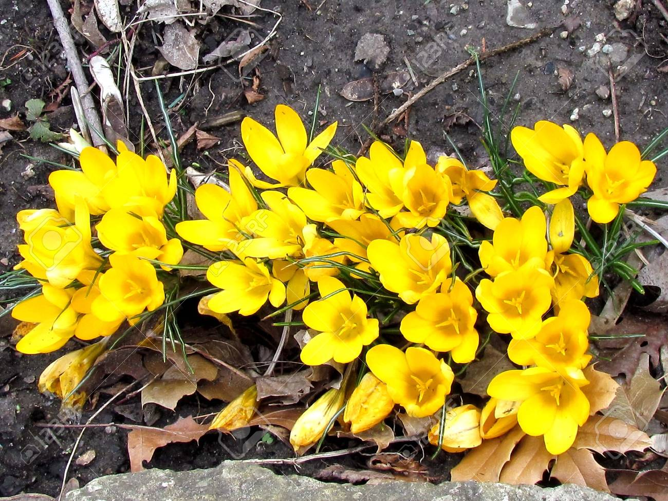 Yellow crocus flower in thornhill ontario canada stock photo stock photo yellow crocus flower in thornhill ontario canada mightylinksfo