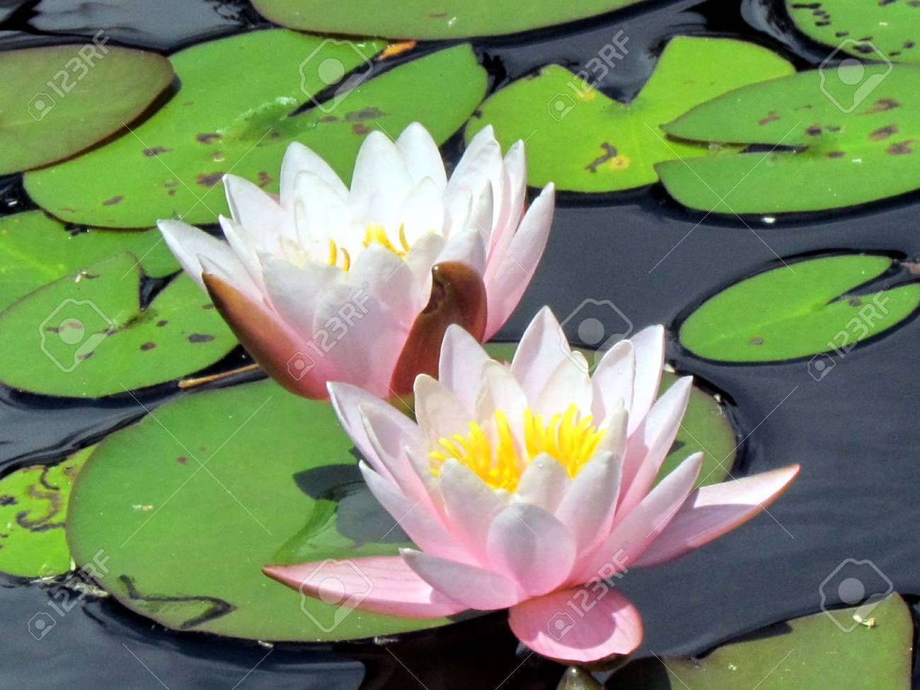 Two Pink Lotus Flowers In The Pond In Garden In Toronto Canada