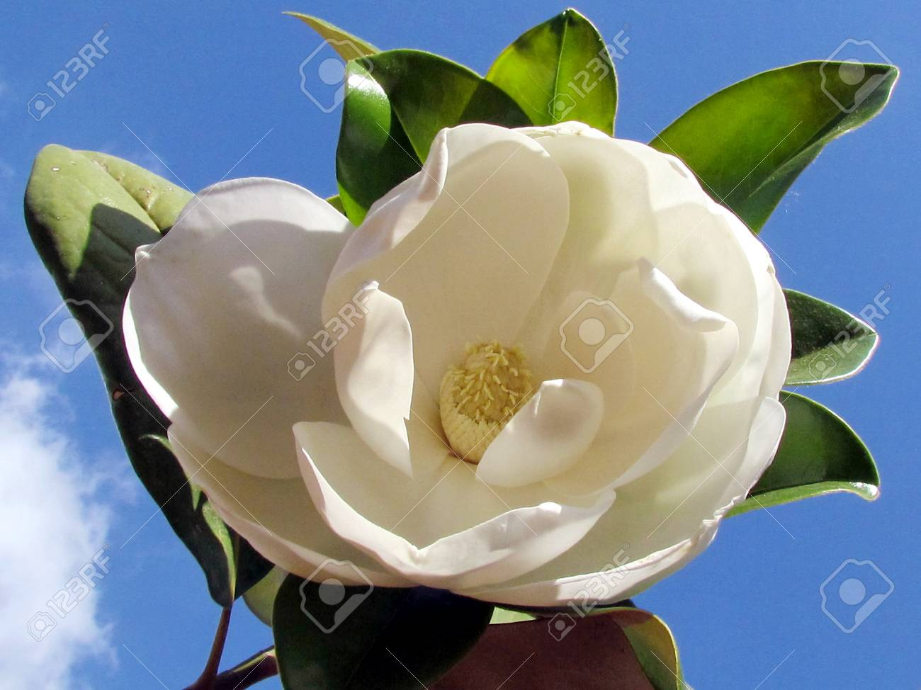 The White Magnolia Flower Isolated In Or Yehuda Israel Stock Photo