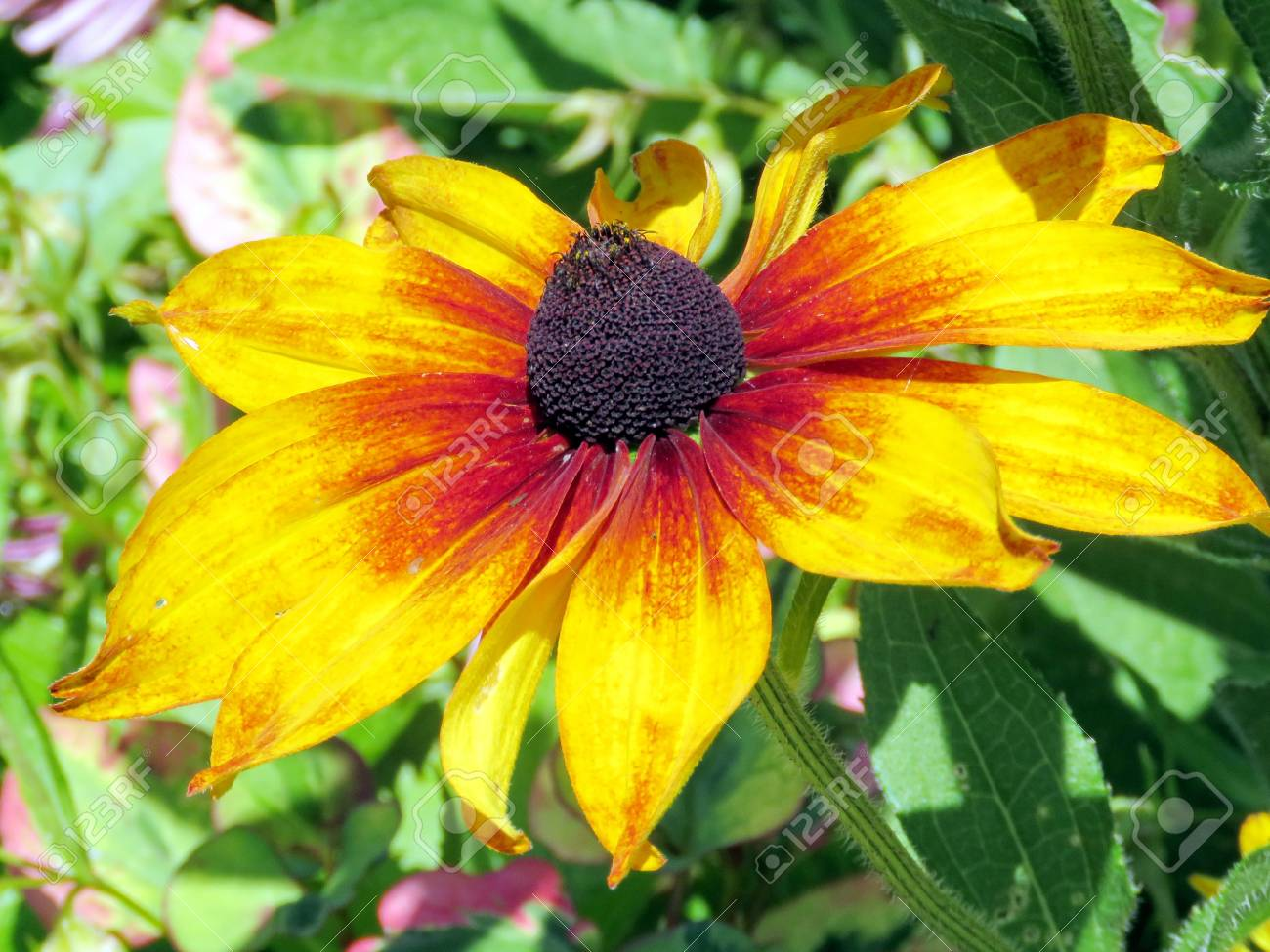 Large Orange Daisy Flower In Garden On Bank Of The Lake Ontario