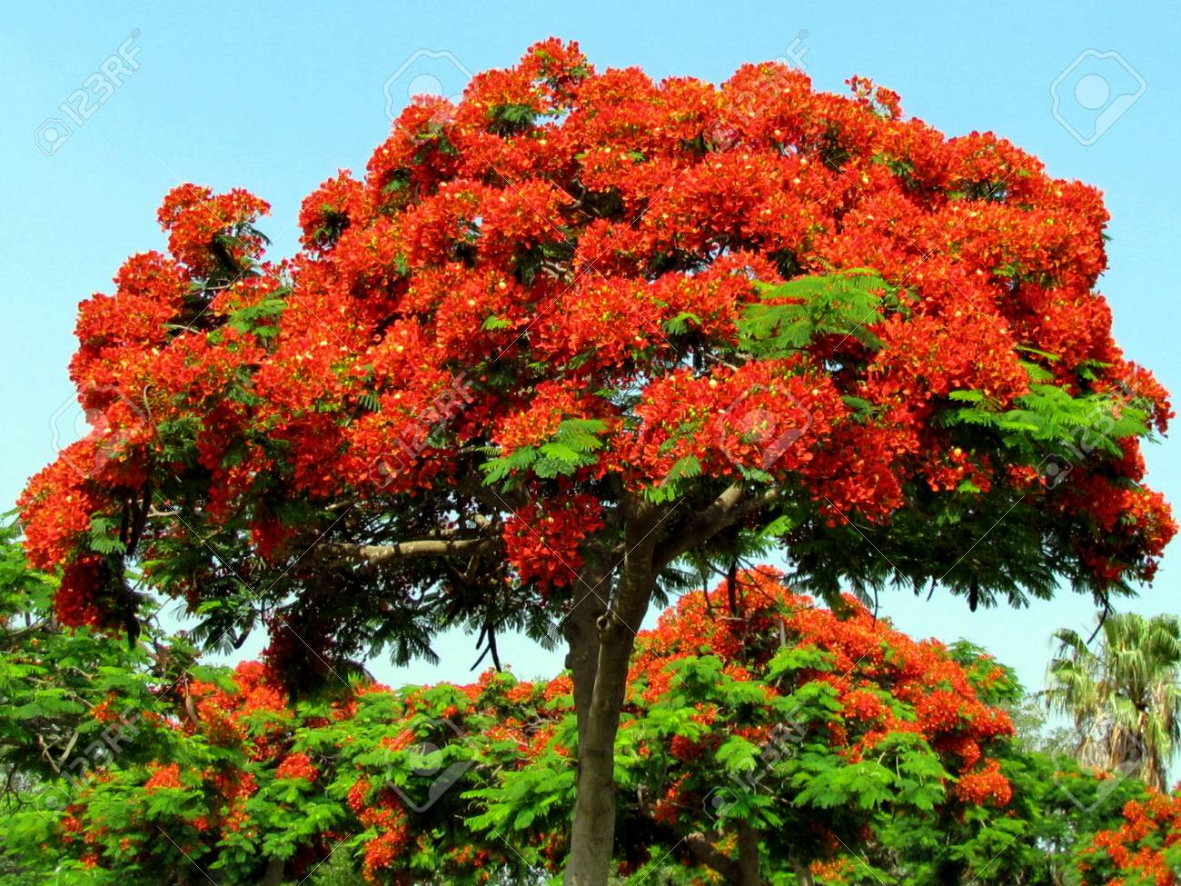 Red Acacia Tree In Edith Wolfson Park In Ramat Gan Israel June