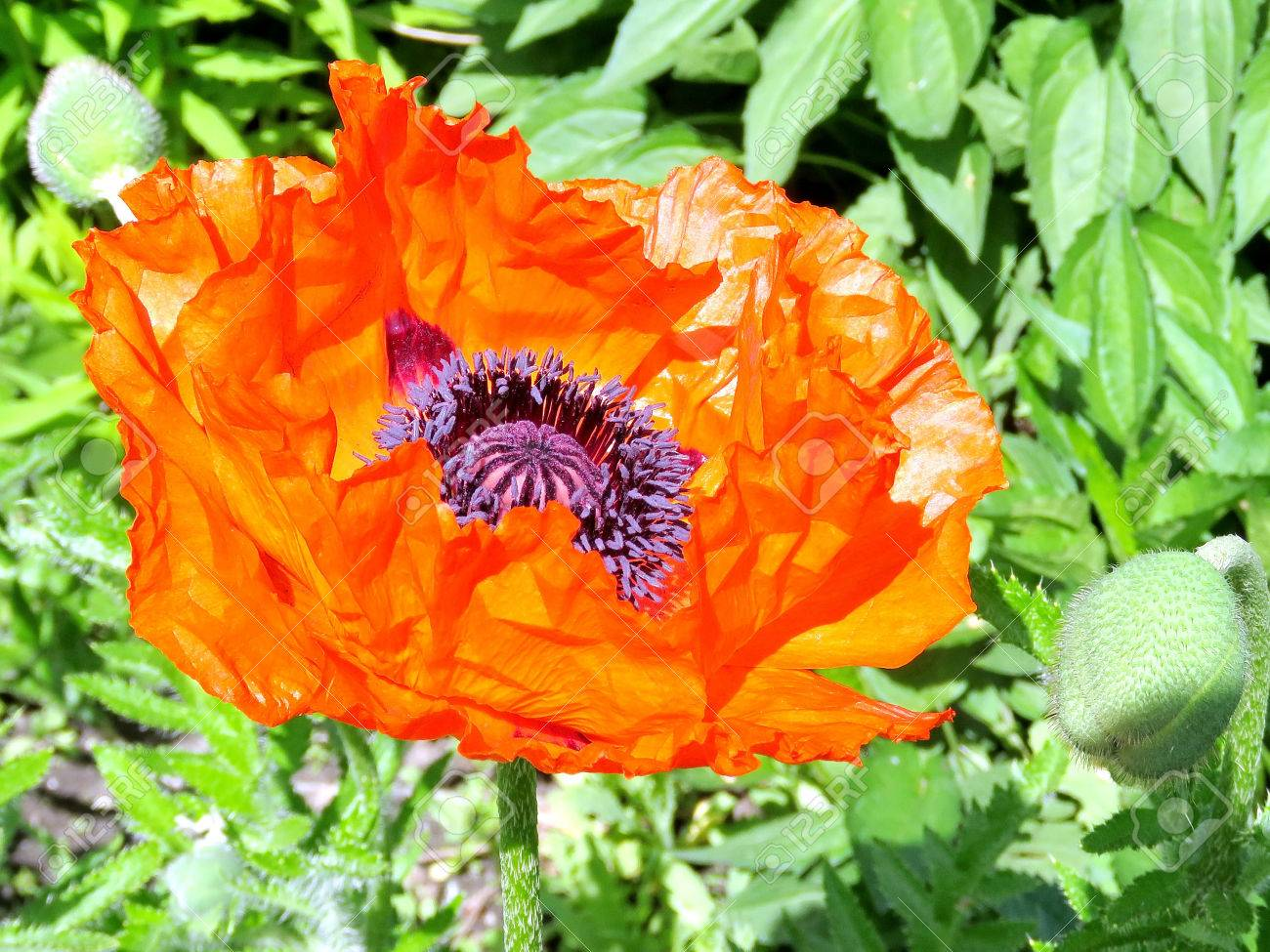 Red Poppy Flower In High Park Of Toronto Canada June 1 2017 Stock
