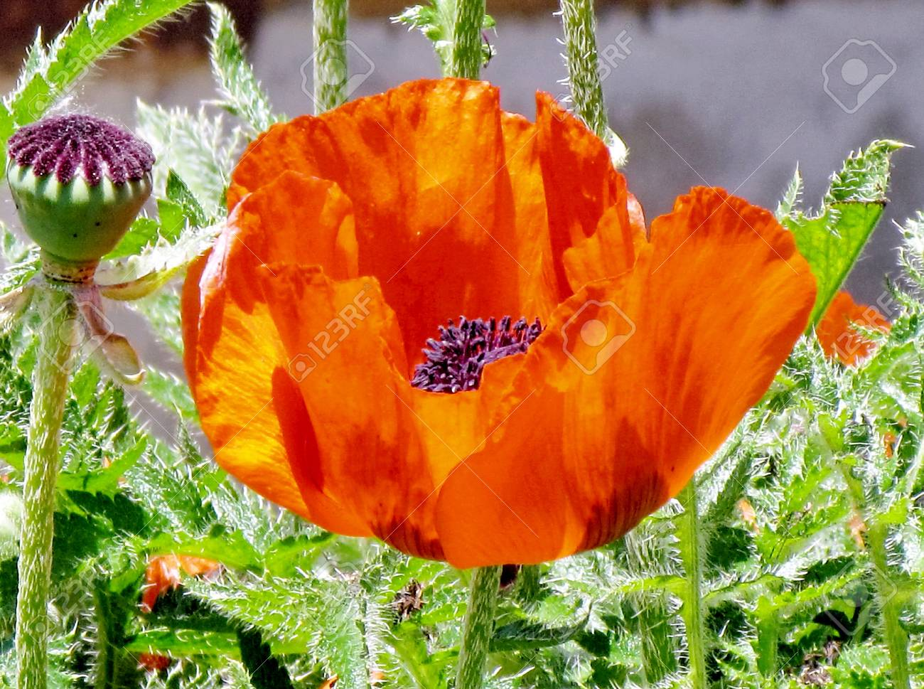 Poppy Flower In Thornhill Canada June 15 2014 Stock Photo