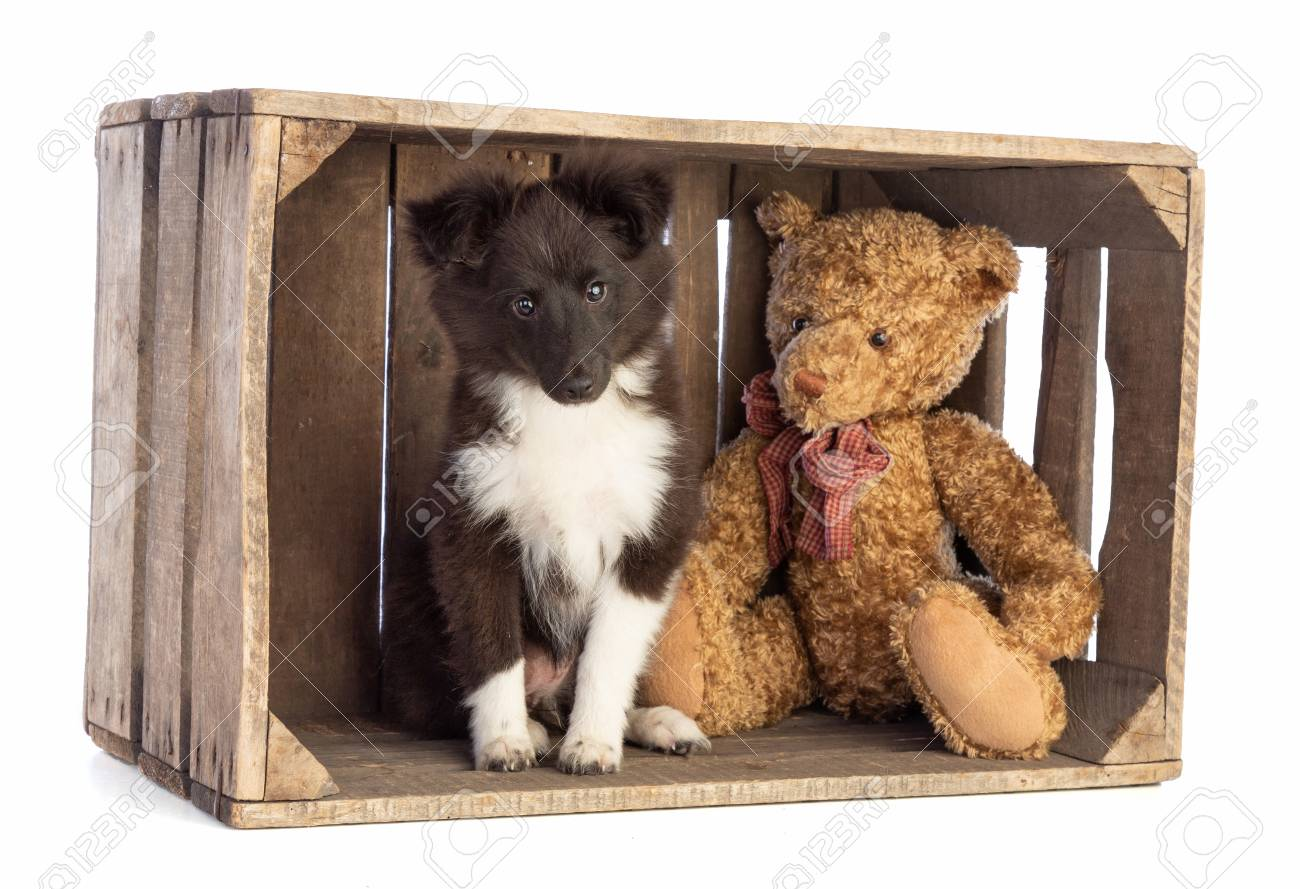 Shetland Sheepdog In A Wooden Crate On White Background Stock Photo