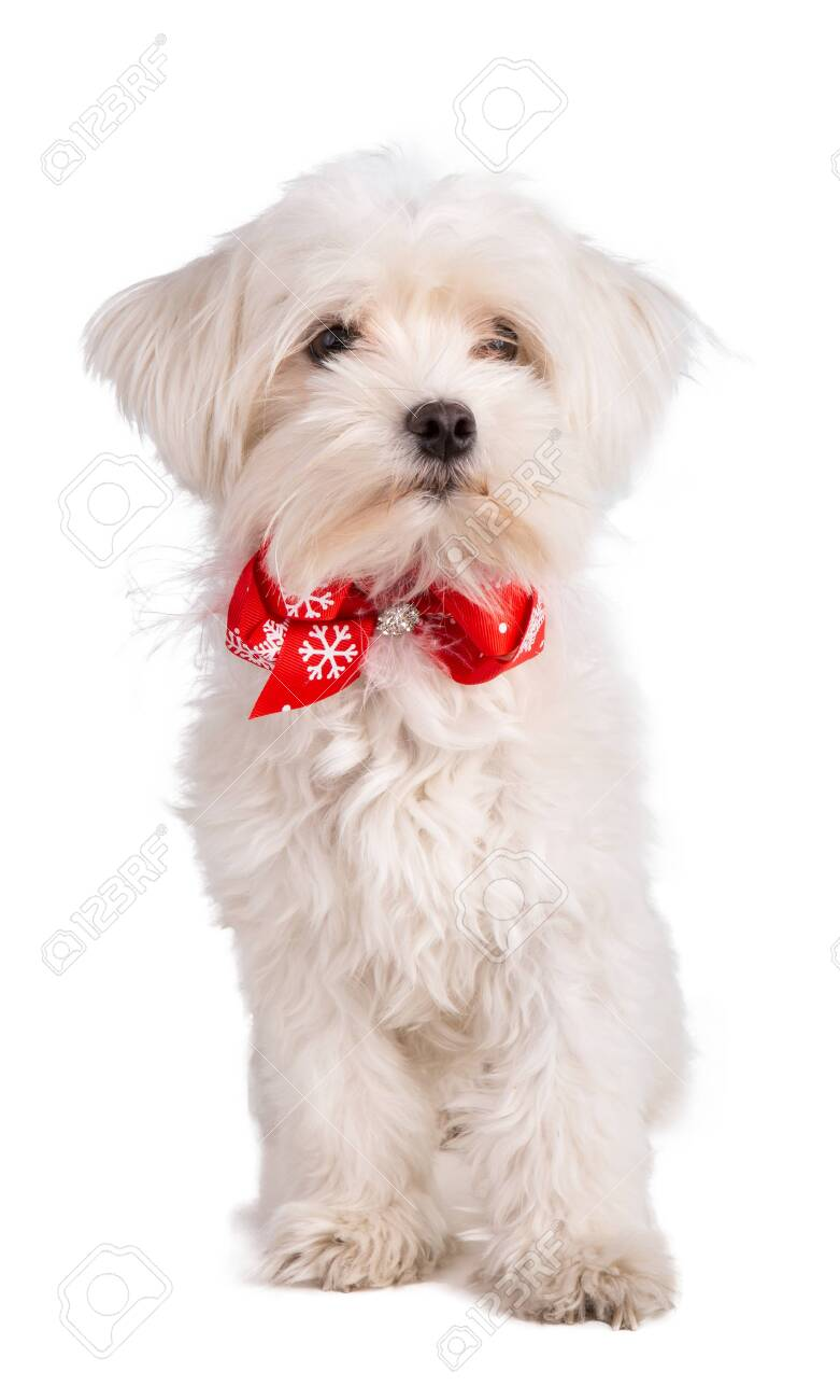 maltese bichon with a bow tie on white background - 116858583