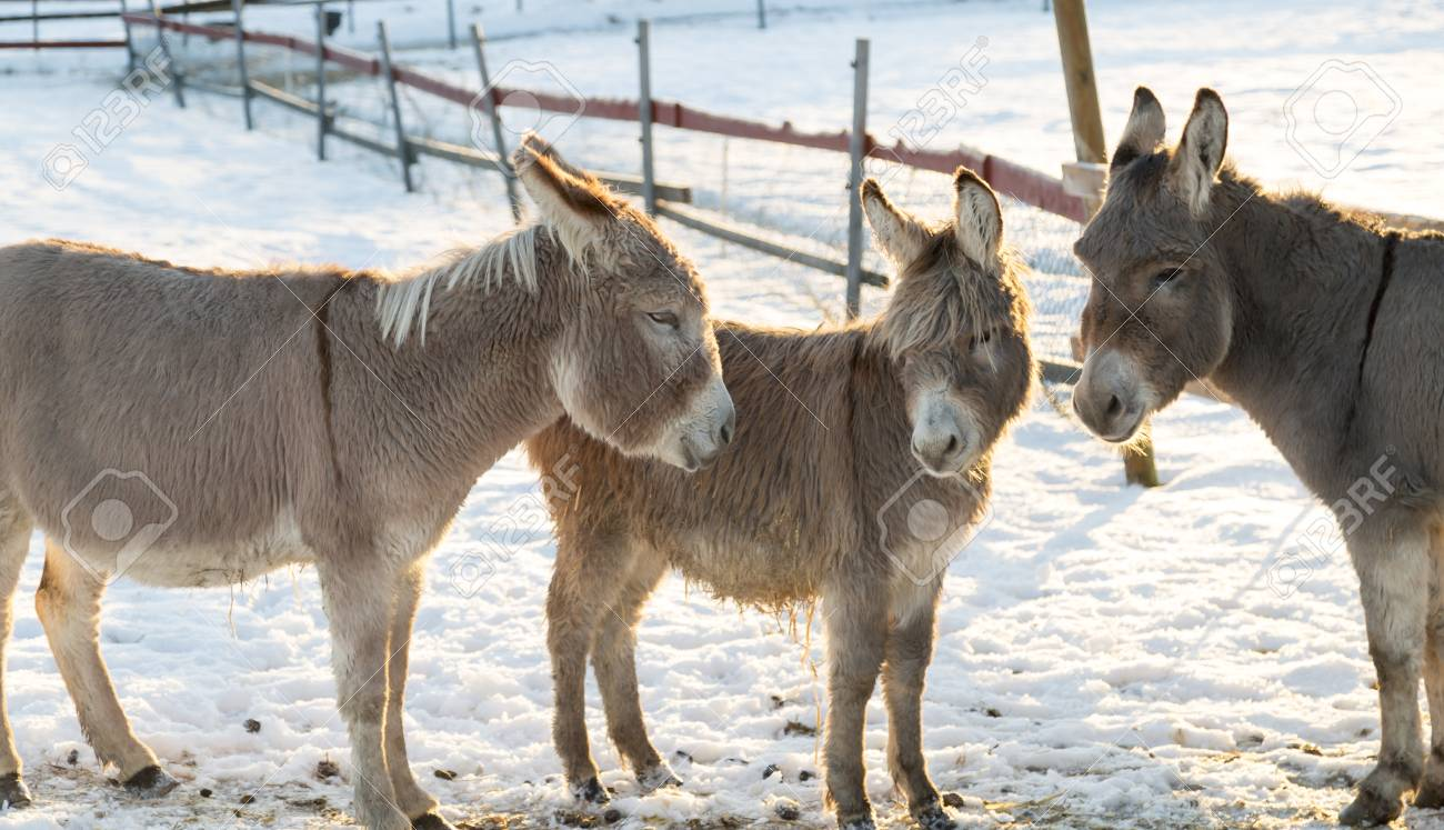 The Donkey in Winter
