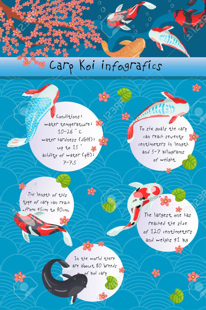 Carp Koi Infographics, Features Of Different Types Of Carp Koi,.. Royalty Free Cliparts, Vectors, And Stock Illustration. Image 94898044.