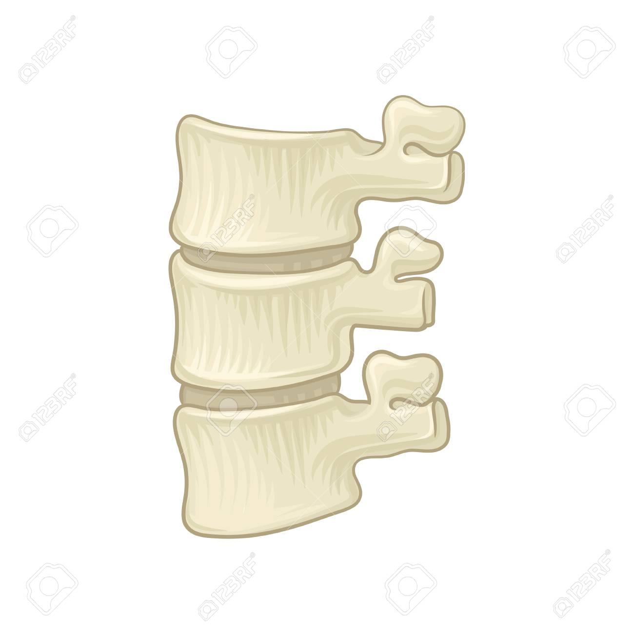 Anatomy Of Lumbar Spine. Part Of Human Backbone. Vertebral Bones ...