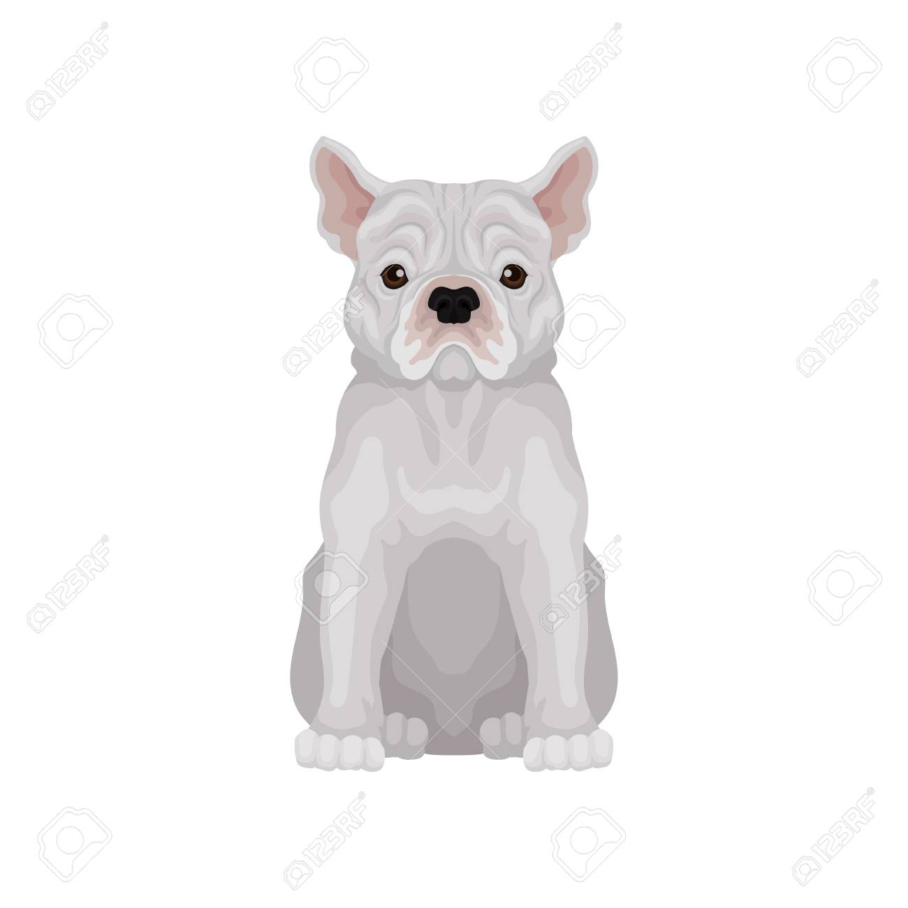 Adorable sitting french bulldog  Small breed of domestic dog