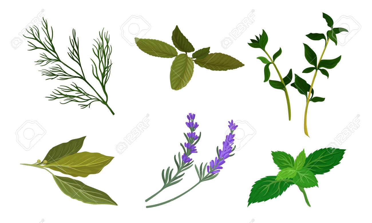 Herbs For Kitchen Vector Set. Cooking Ingredient Collection - 133047883