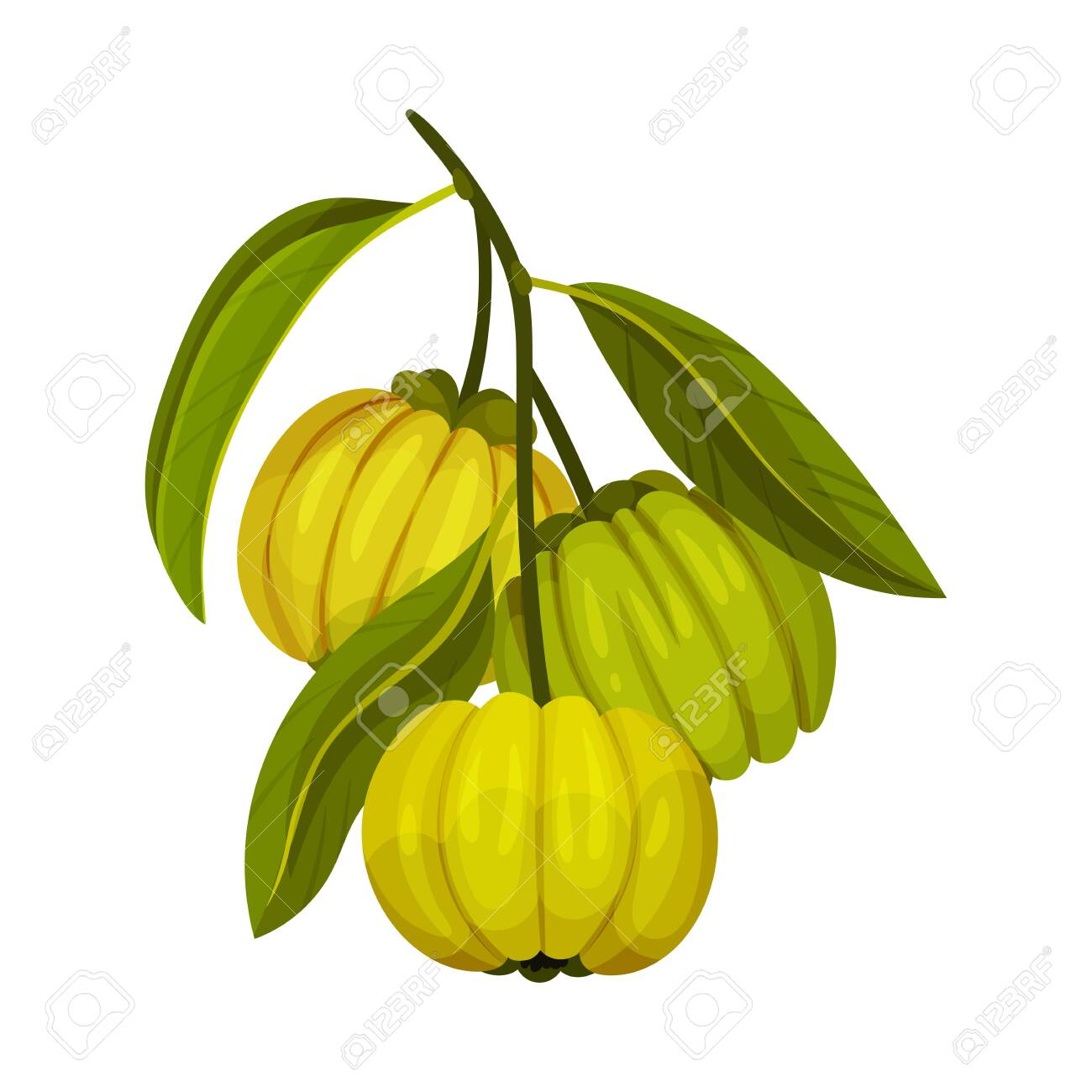 Garcinia Cambogia Fruit With Oblong Green Leaves Vector