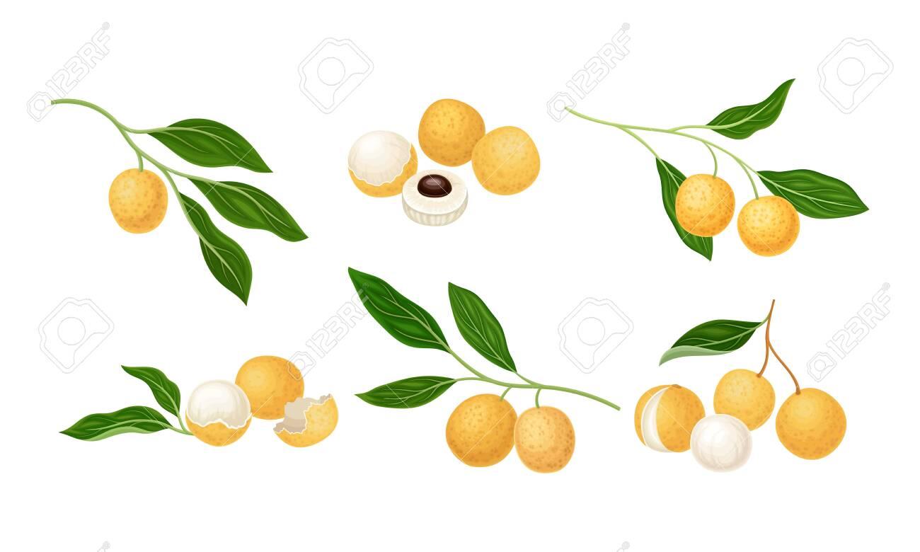 Longan Exotic Circular Fruit with Tan Peel and Translucent Flesh Vector Set - 150626104